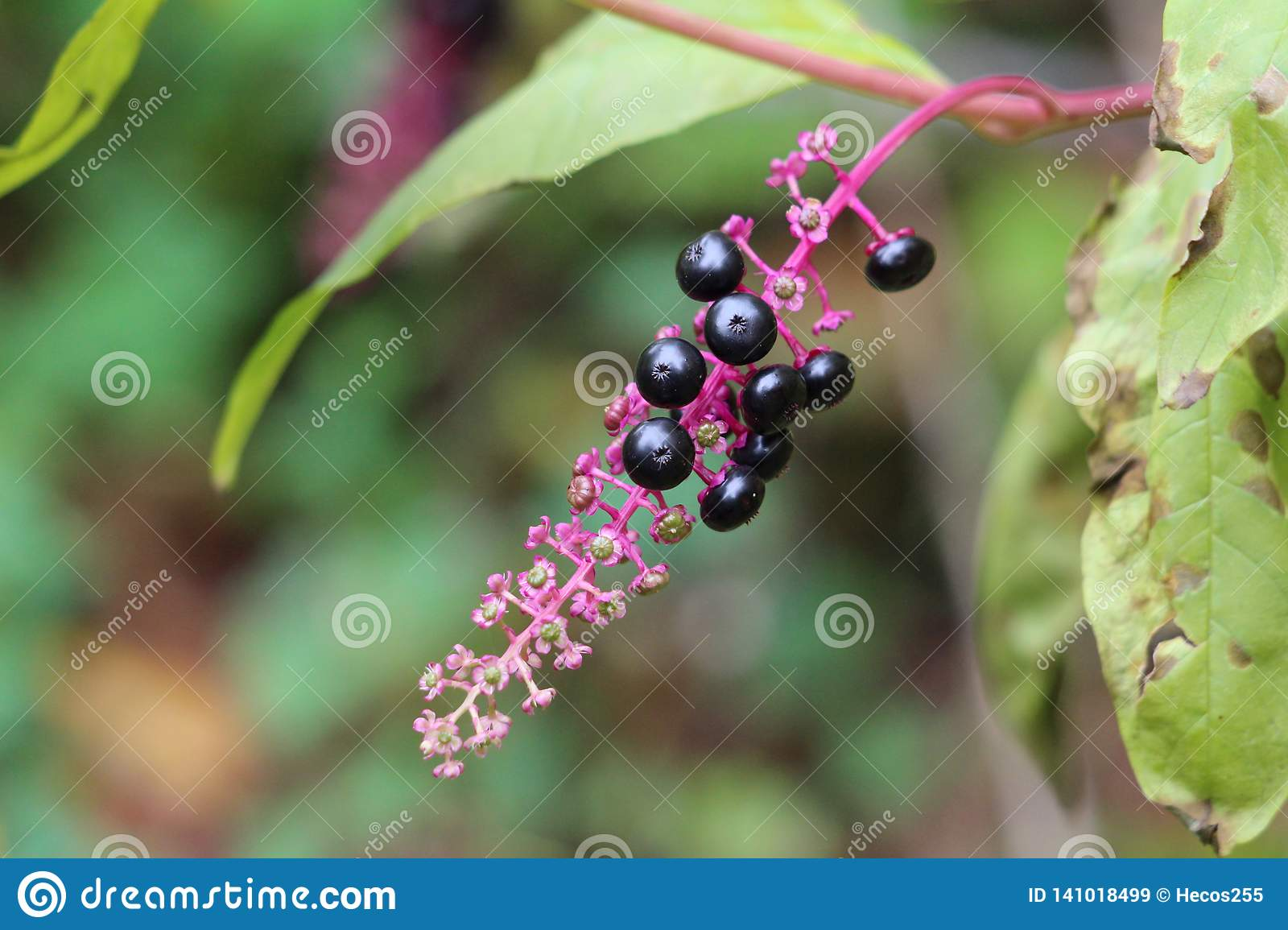 Pokeweed Or Phytolacca Americana Poisonous Herbaceous Perennial