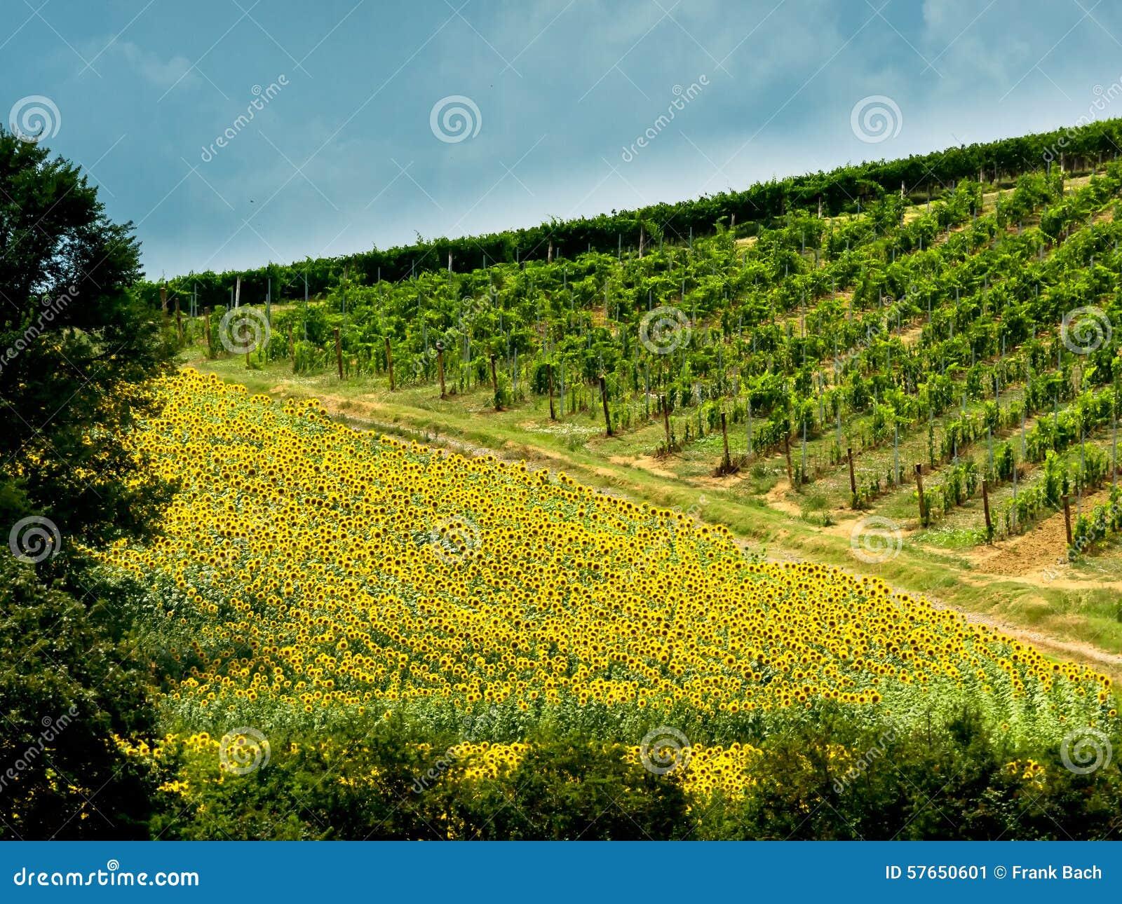 Pola z winem słoneczniki w Tuscany
