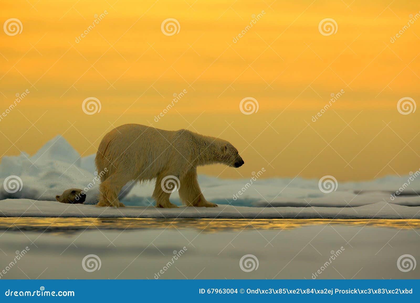 Polaire concernez la glace de dérive avec la neige, avec égaliser le soleil jaune, le Svalbard, Norvège