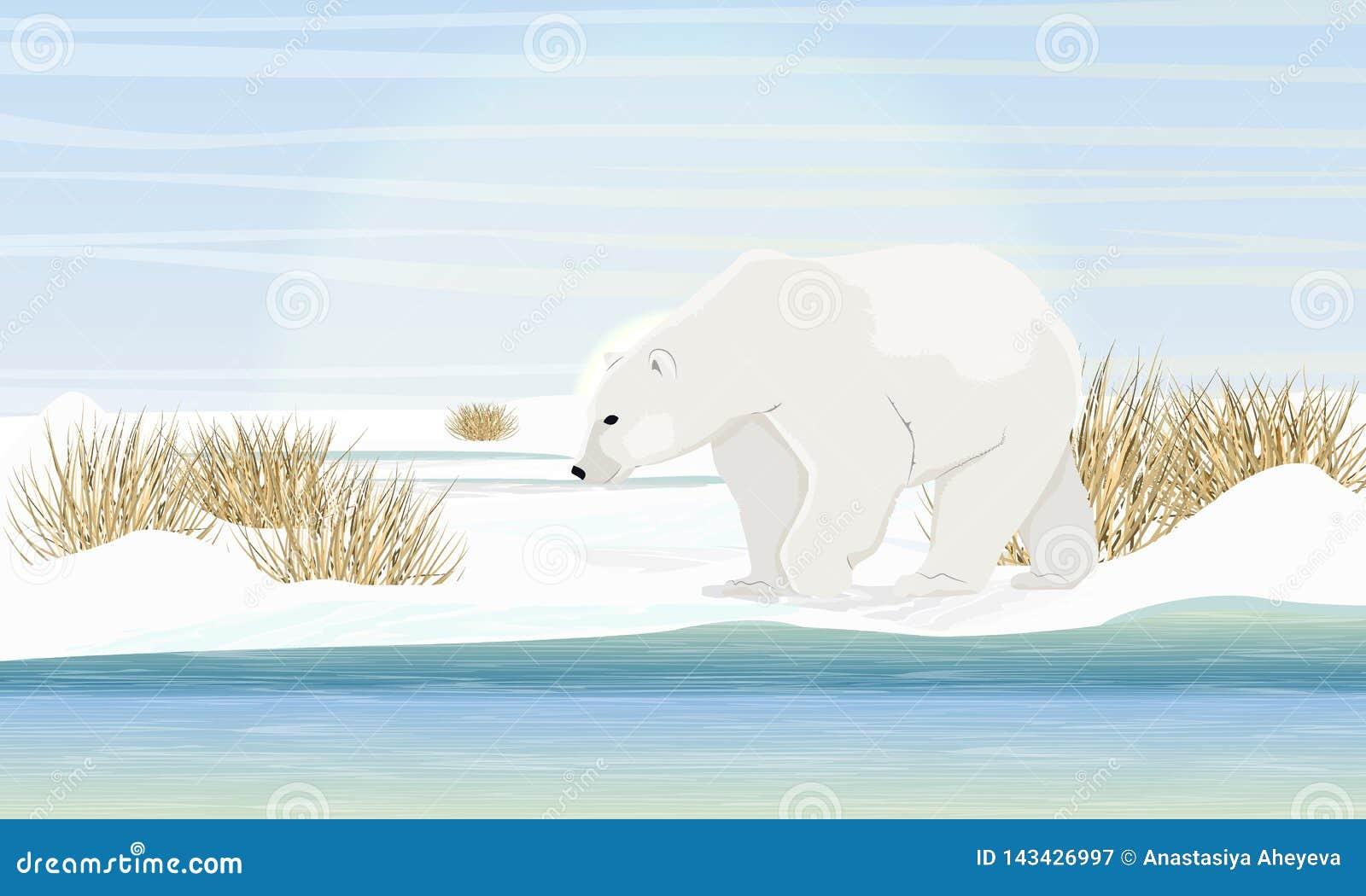 Polaire concernez le rivage par la mer Herbe sèche, neige Animaux du cercle arctique
