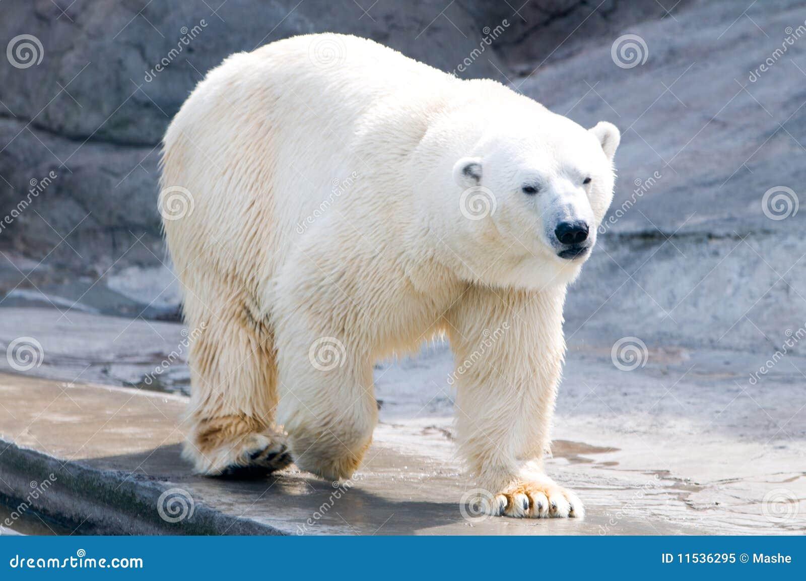 Polar Bear Royalty Free Stock Photo - Image: 11536295