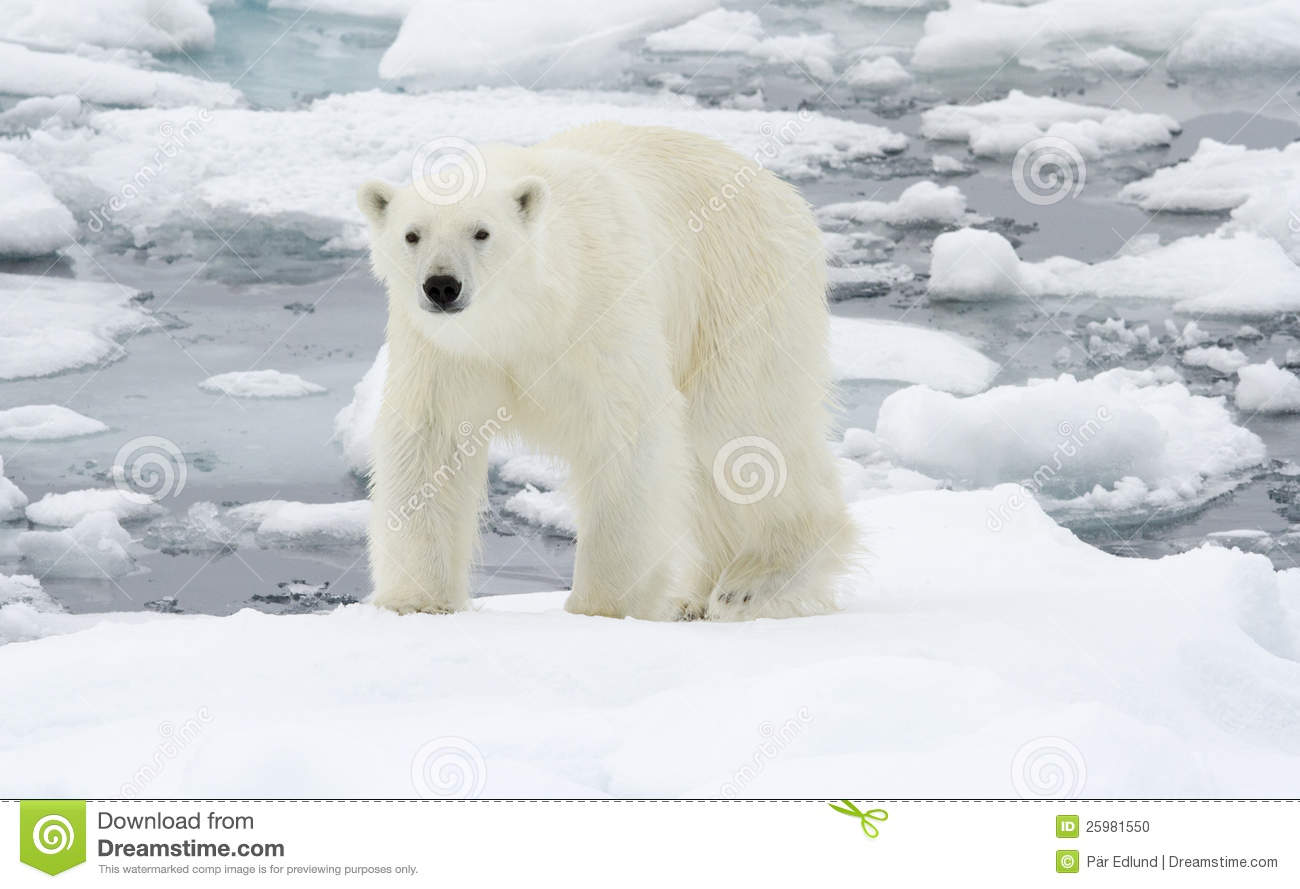 polar bear in icy winter landscape stock photo image. Black Bedroom Furniture Sets. Home Design Ideas
