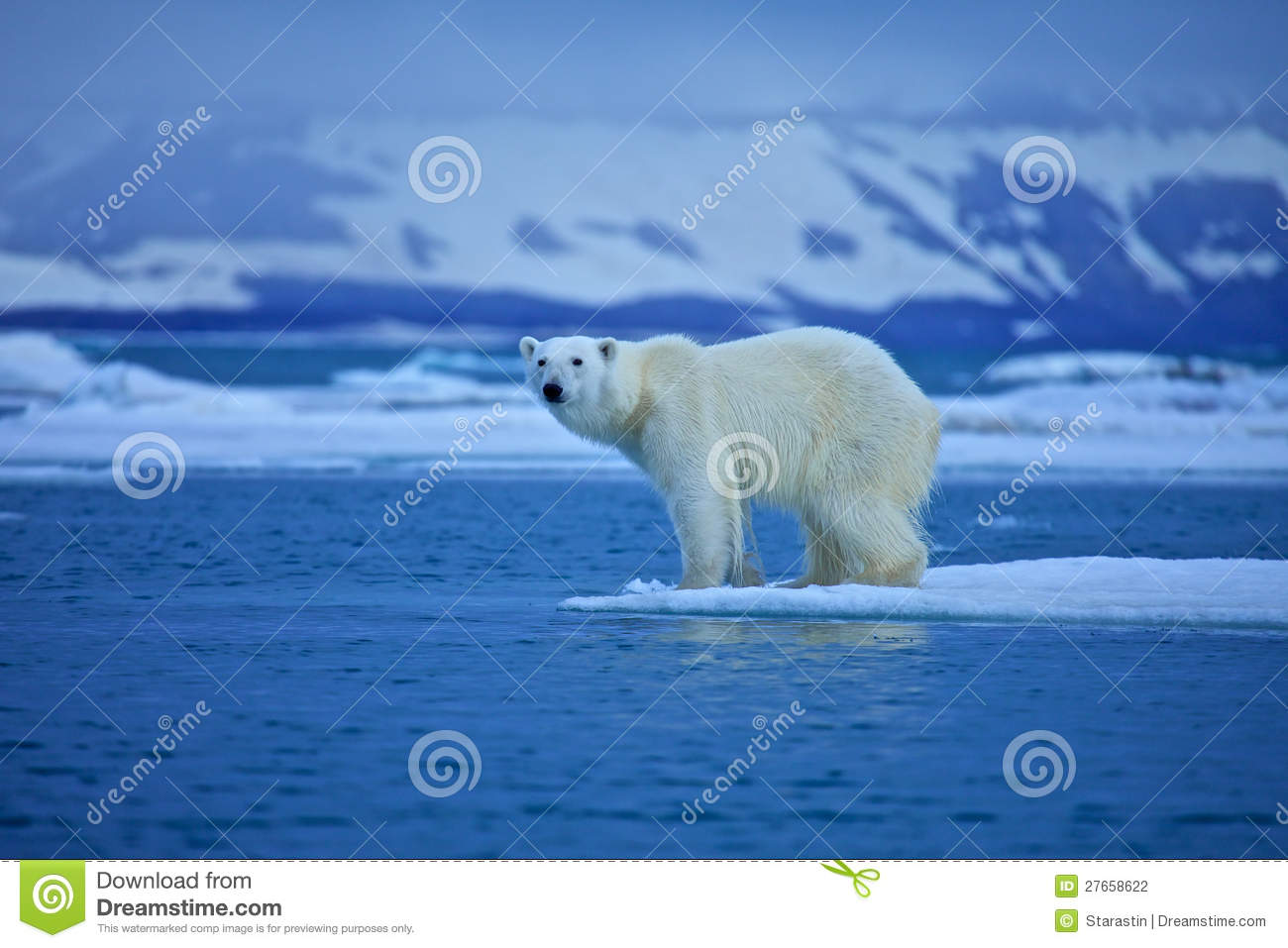 polar bear ecology Polar bears and climate change: declines in polar bear body size linked to nutritional stress: long-term trends in the population ecology of polar bears in western hudson bay in relation to climate change arctic 52:294-306 stirling, i et al 2011.
