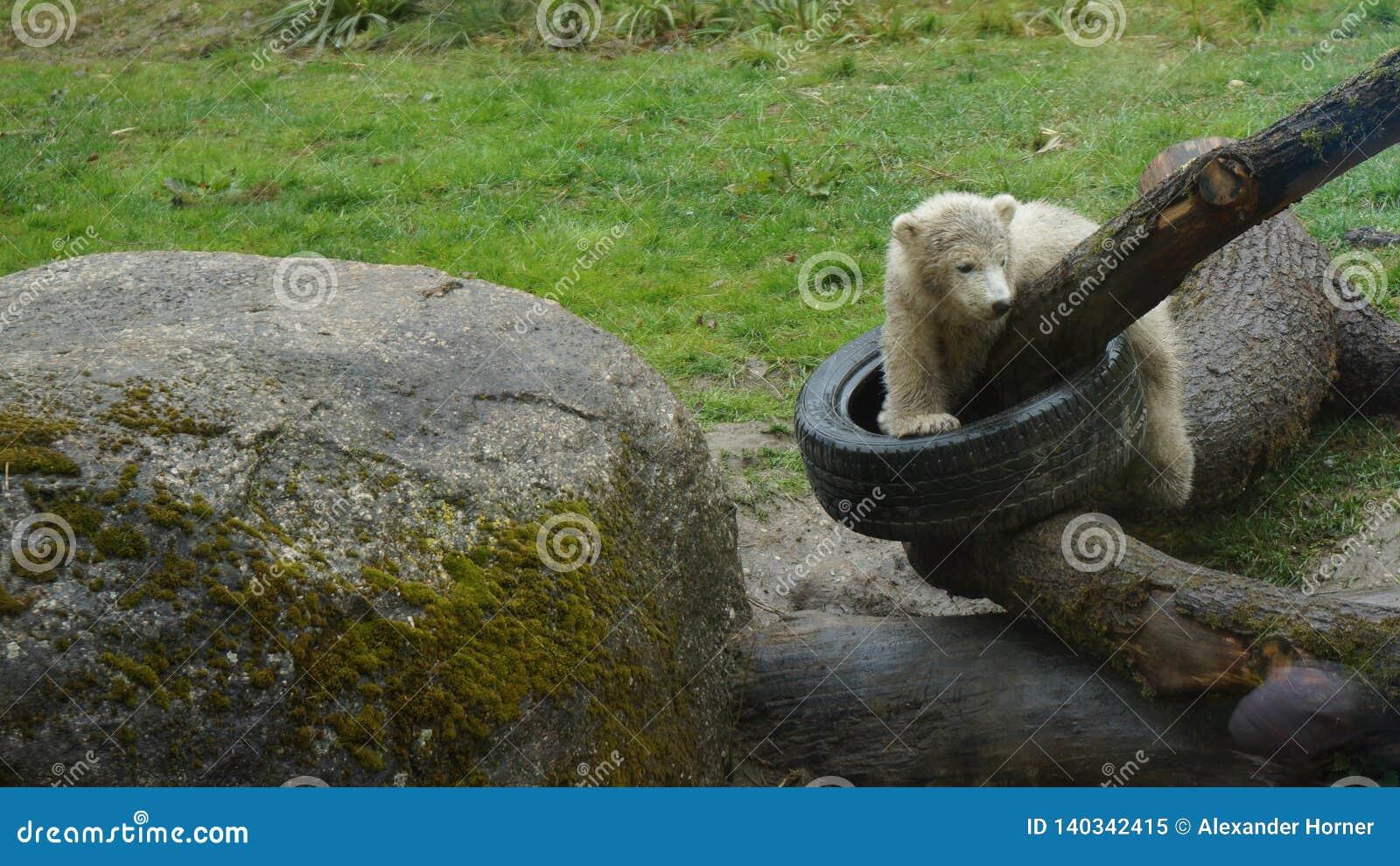 Polar bear babys plaing on logs with car tire