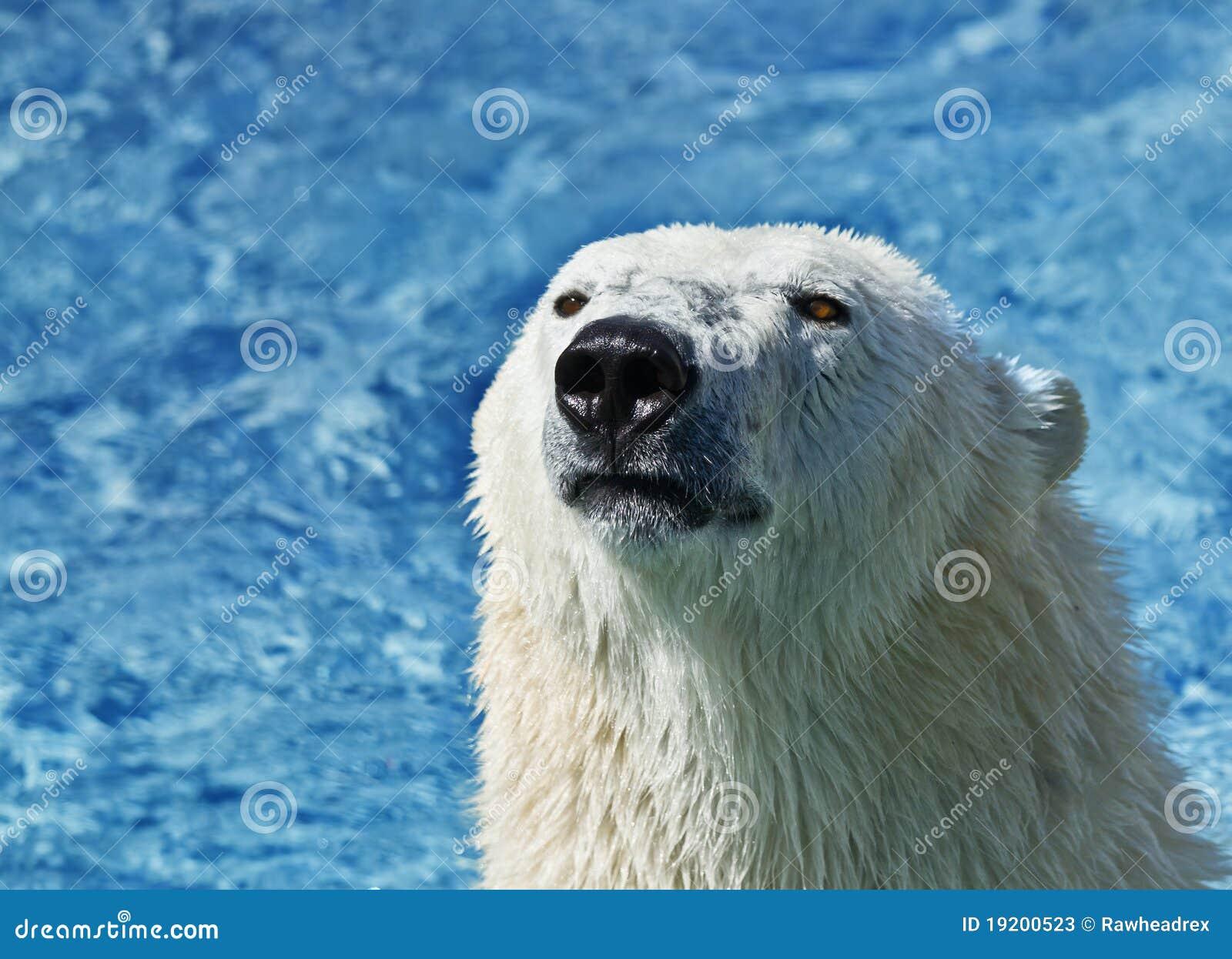 Polar bear close up
