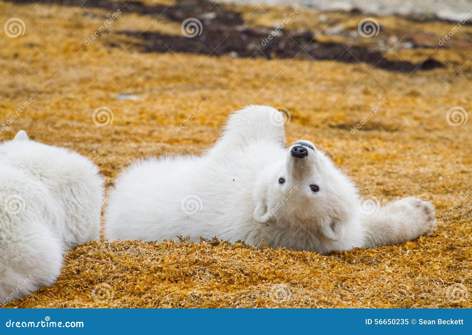 Polar bear cub playing