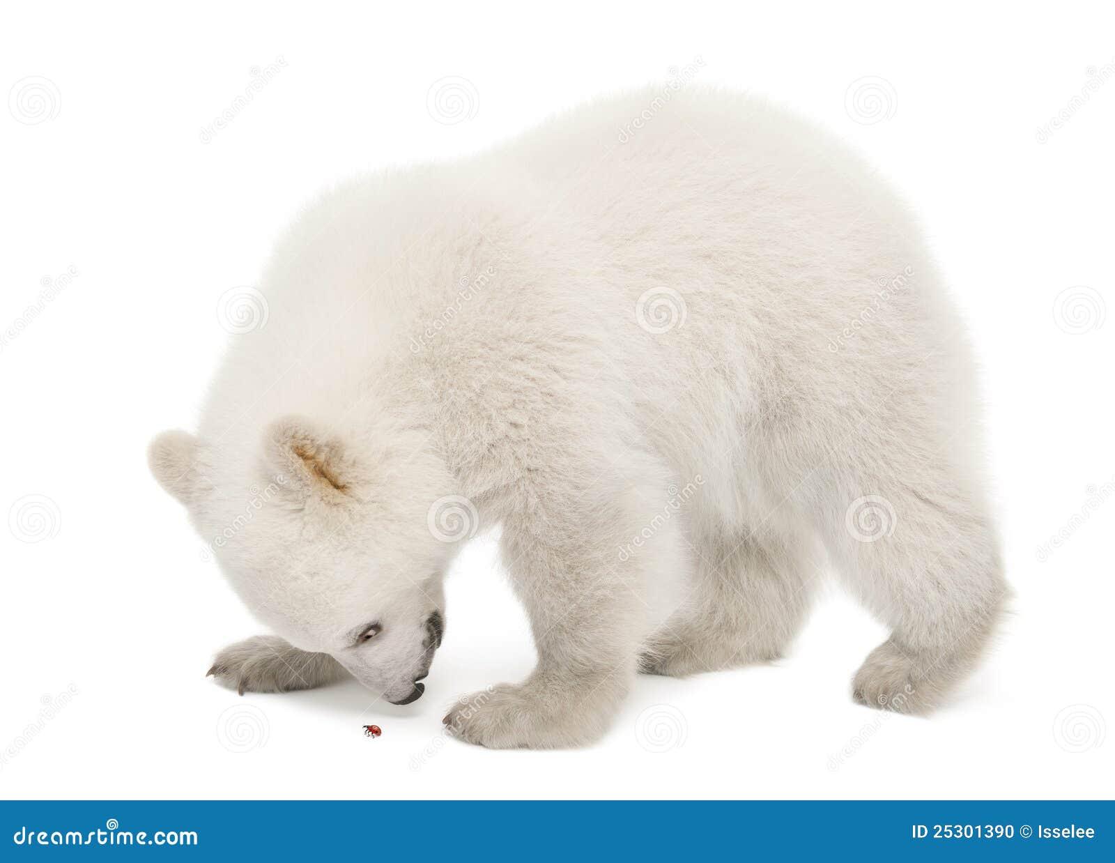 Polar Bear Cub Ursus Maritimus 6 Months Old Stock Photo