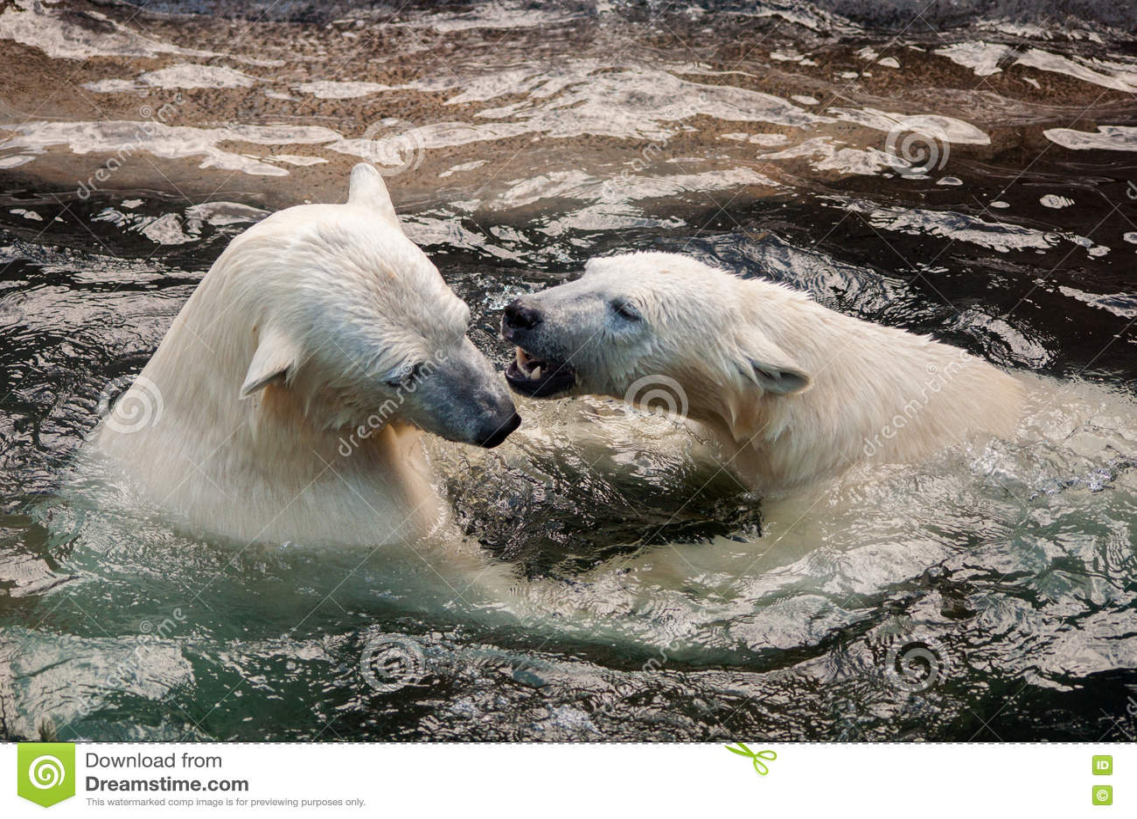 Polar bear cubs playing in water