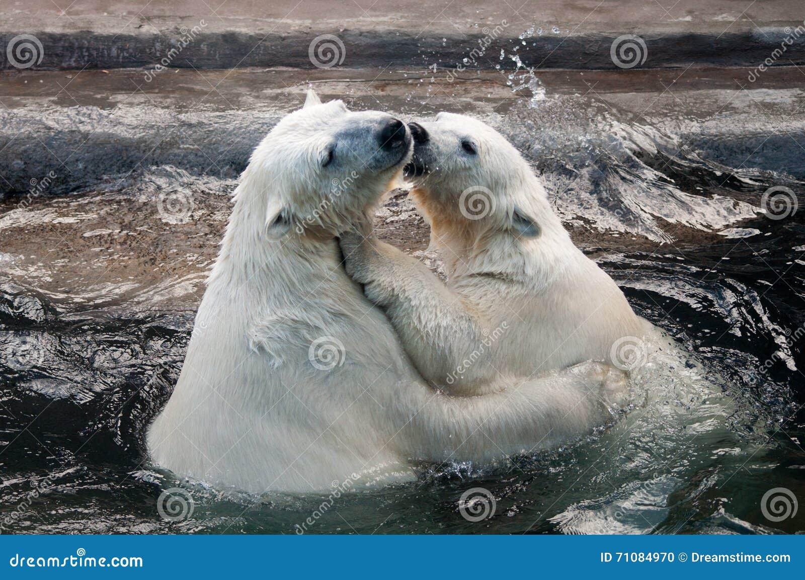 Polar bear cubs in water