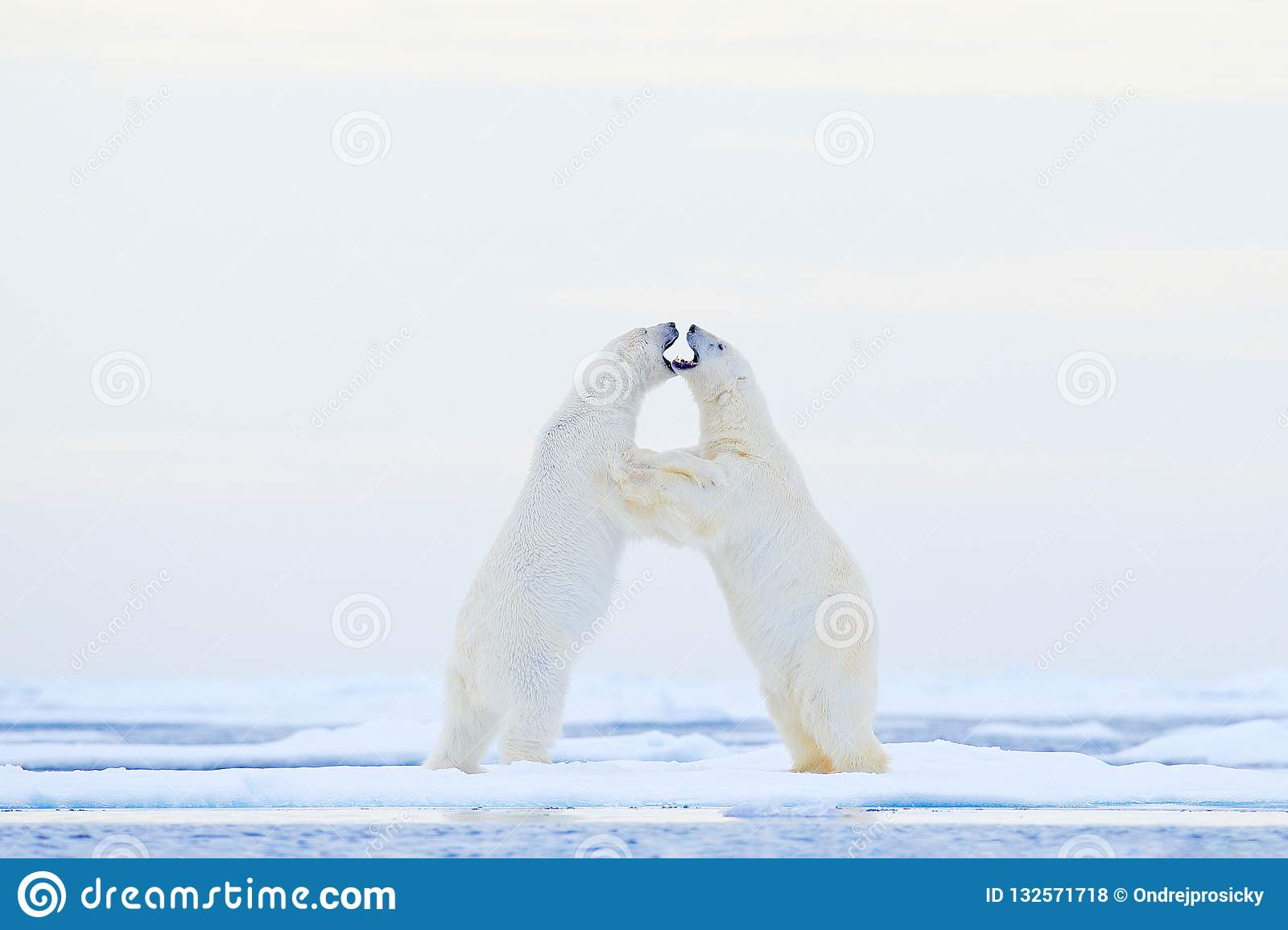 Polar bear dancing on the ice. Two Polar bears love on drifting ice with snow, white animals in the nature habitat, Svalbard,