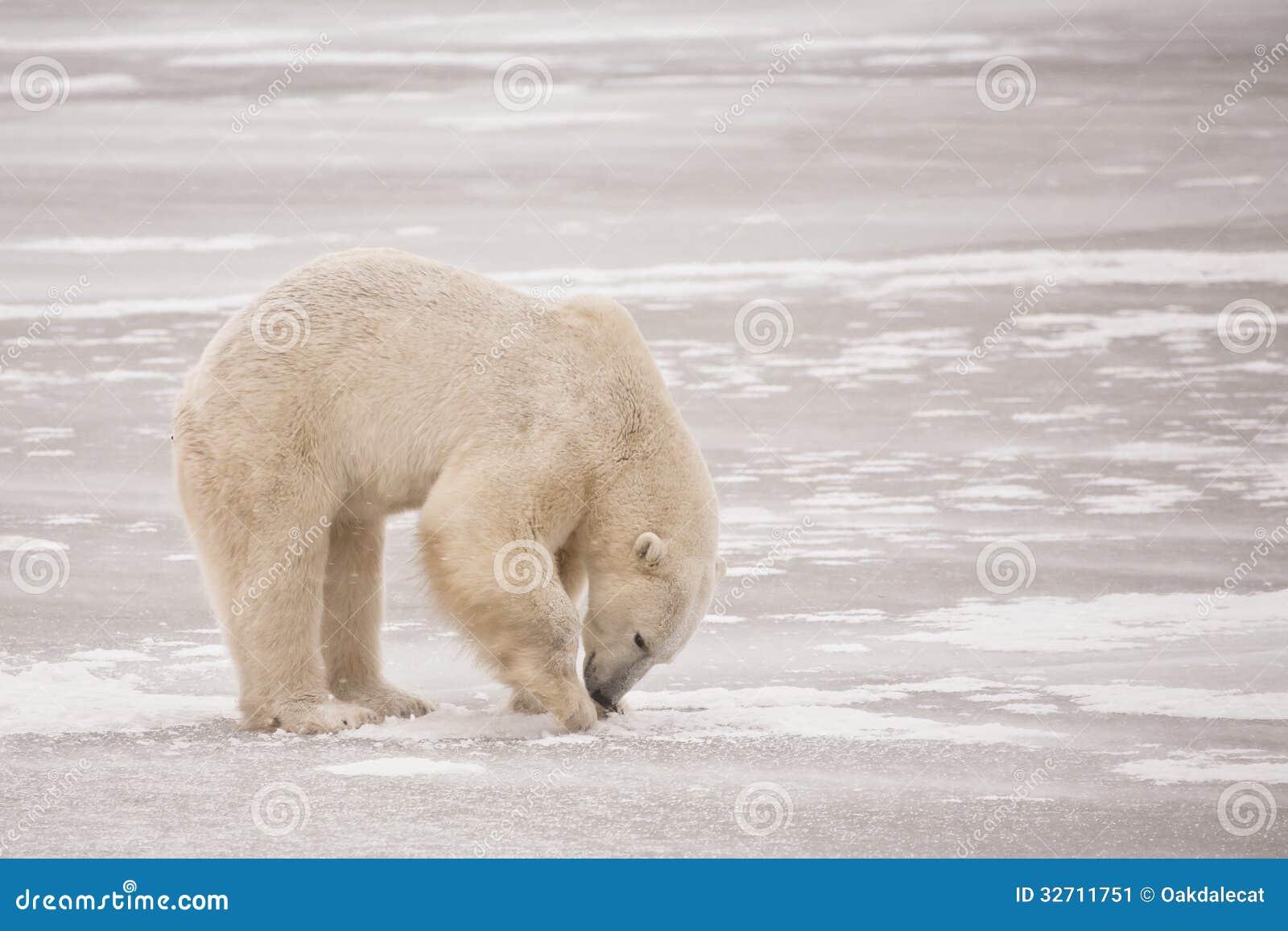 polar bear digging for food on ice stock image image of. Black Bedroom Furniture Sets. Home Design Ideas
