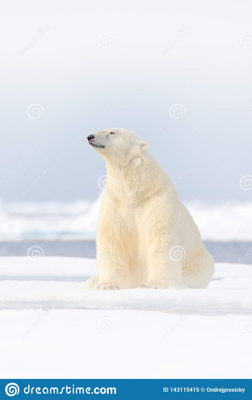 Polar bear on drift ice edge with snow and water in Norway sea. White animal in the nature habitat, Europe. Wildlife scene from