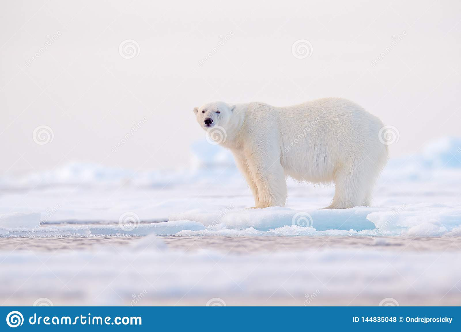 Polar bear on drift ice edge with snow and water in Norway sea. White animal in the nature habitat, Svalbard, Europe. Wildlife