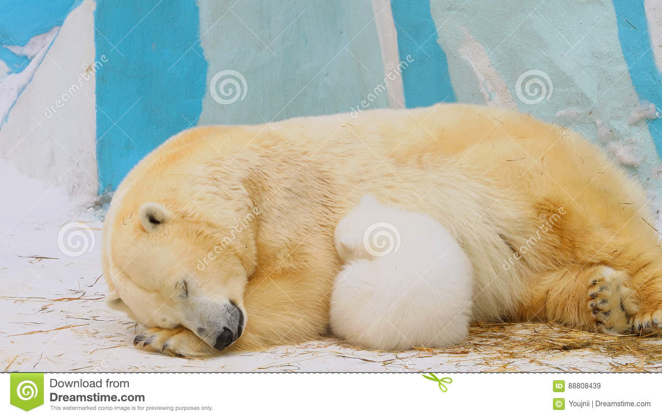 polar bear family sleep in a zoo in a winter stock image. Black Bedroom Furniture Sets. Home Design Ideas
