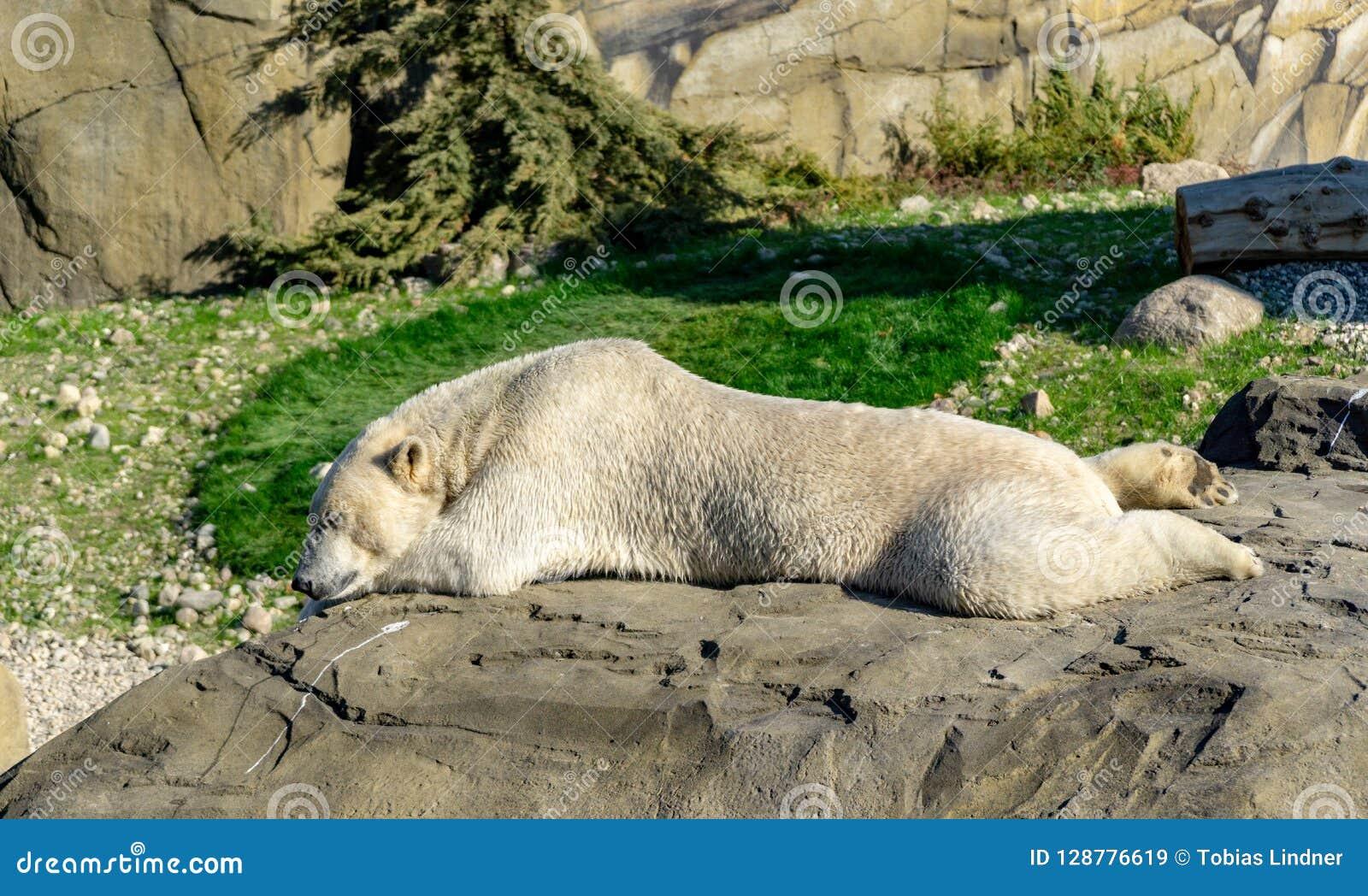 Polar bear or ice bear in an autumn landscape