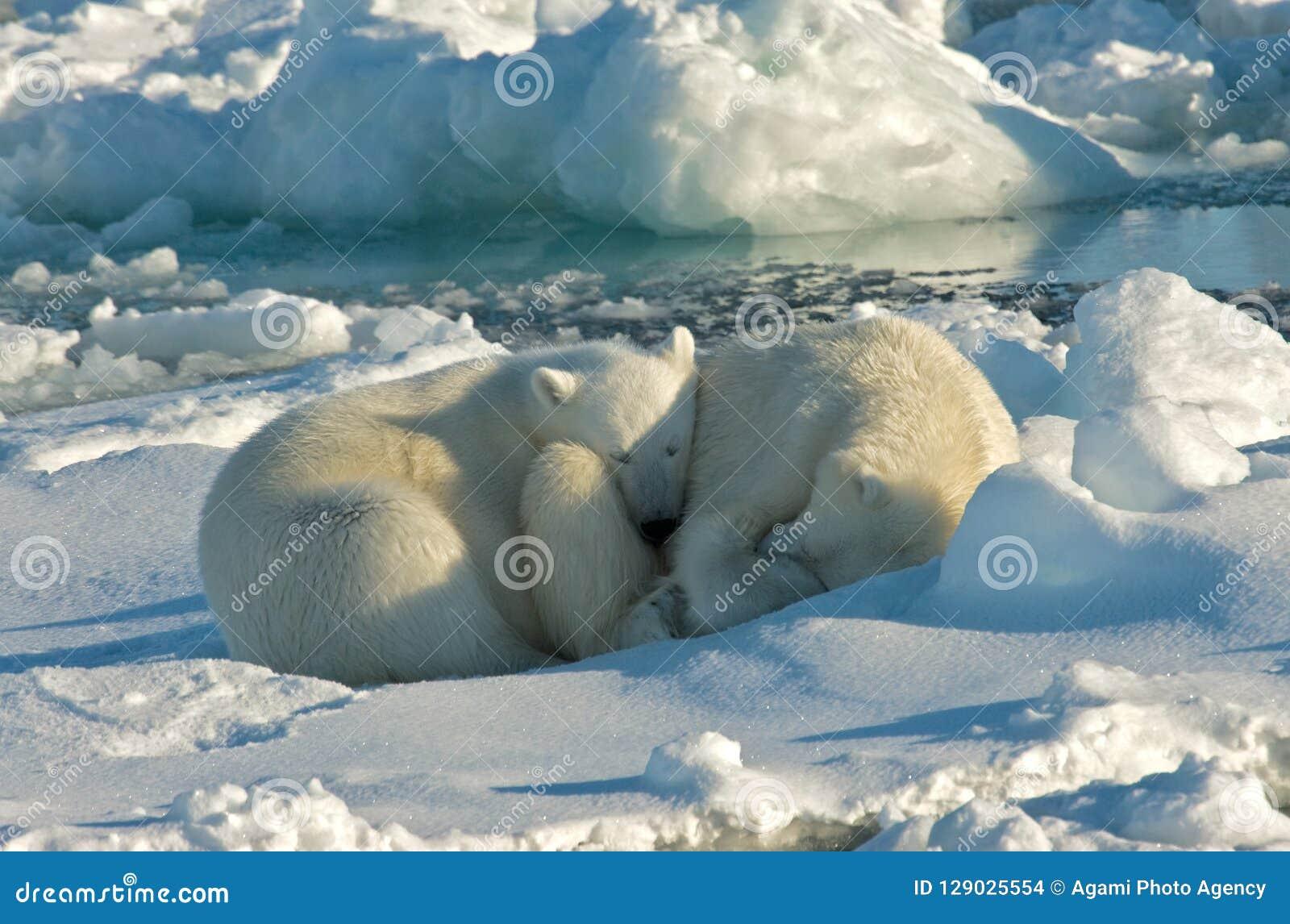 Polar Bear, IJsbeer, Ursus maritimus