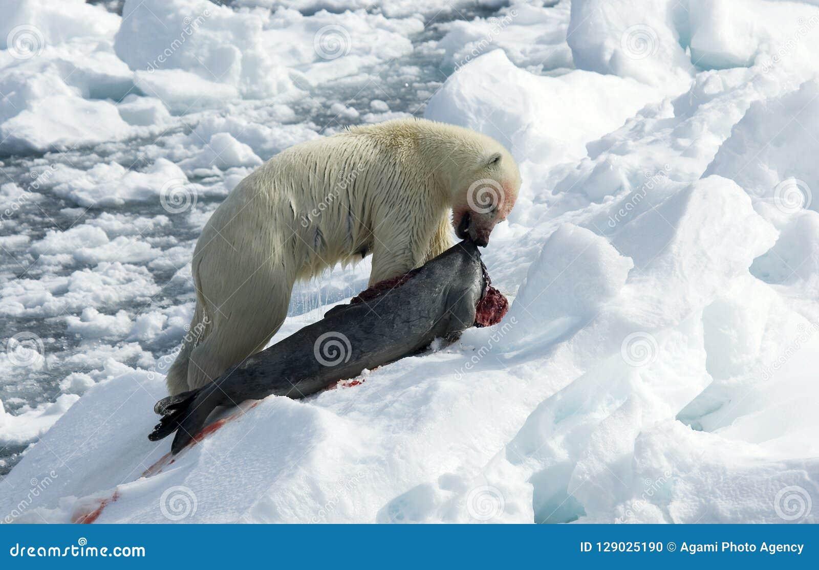 Polar Bear, IJsbeer, Ursus maritimus,