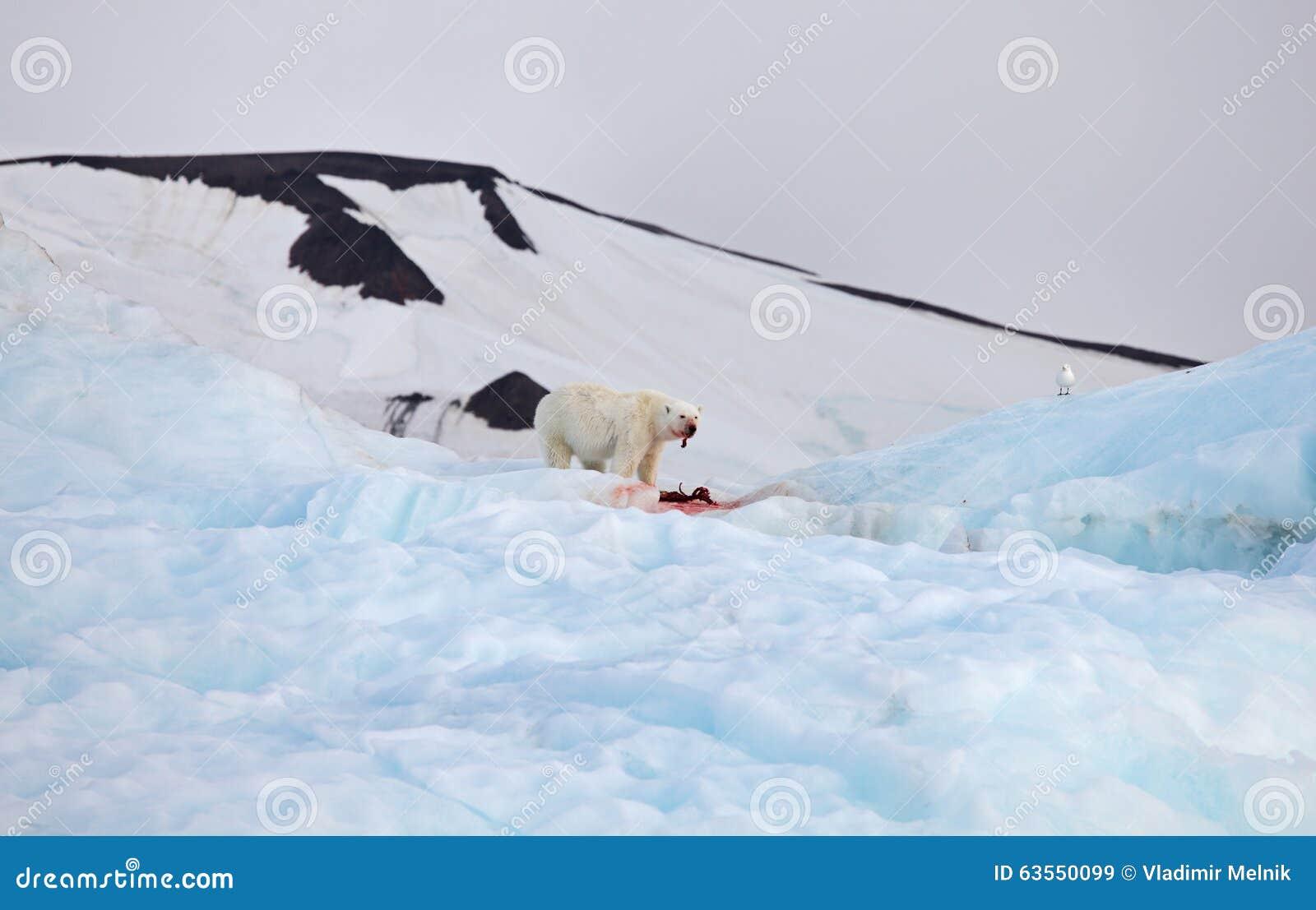 Polar bear and ivory gull
