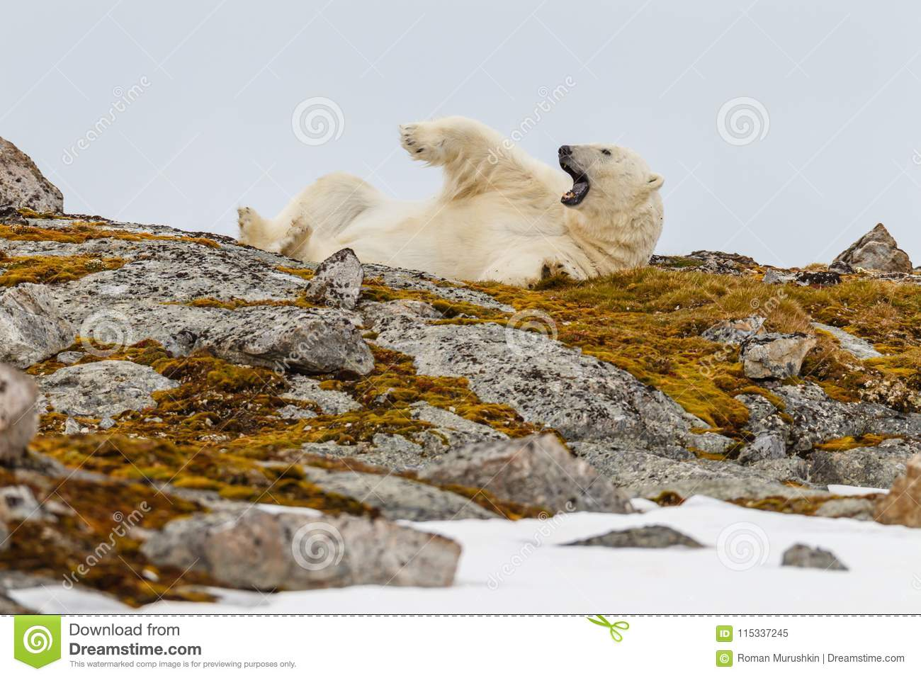 A polar bear lies on its back on a snowy stony hill overgrown with mosses and yawns