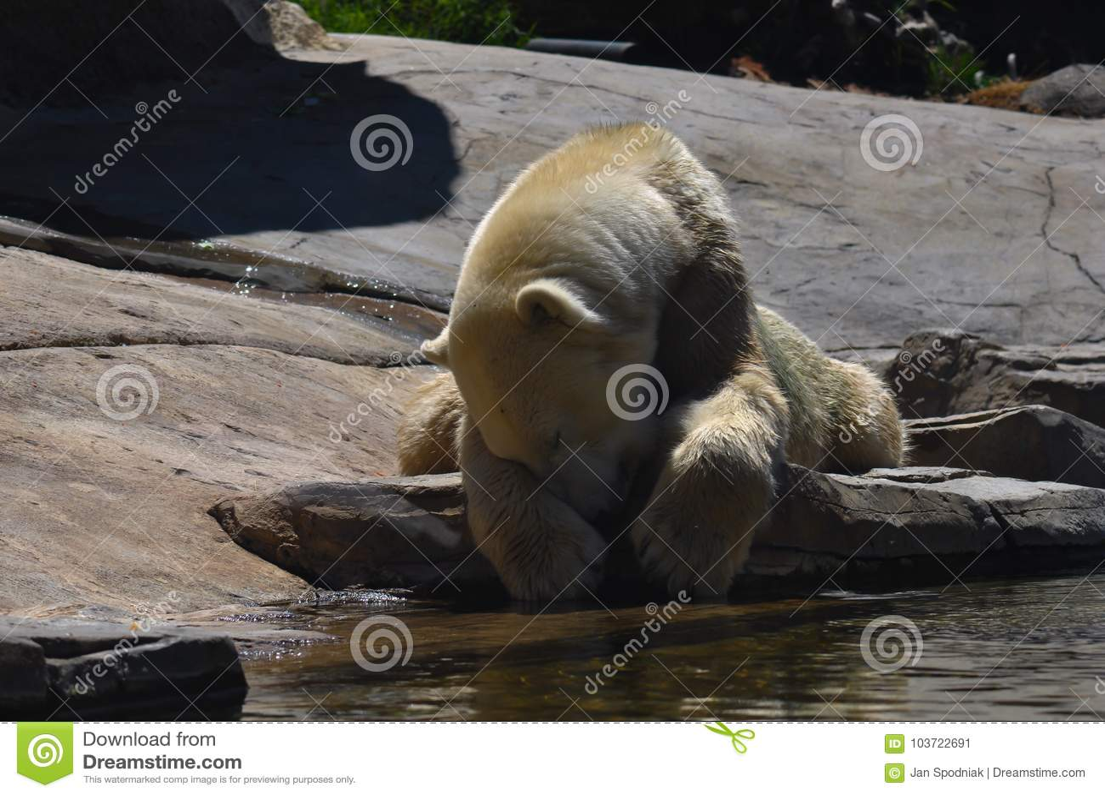 Polar bear lying on the rock