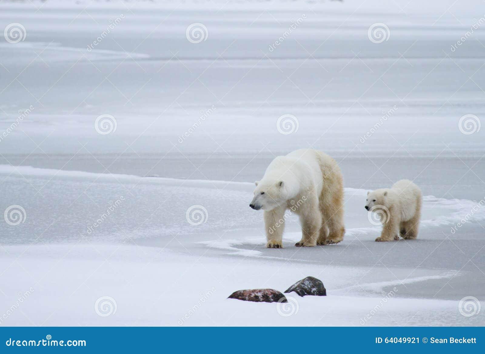 Polar Bear Mom And Cub On Ice Stock Photo - Image: 64049921