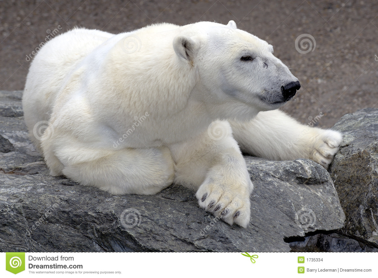 polar bear relaxing on rock