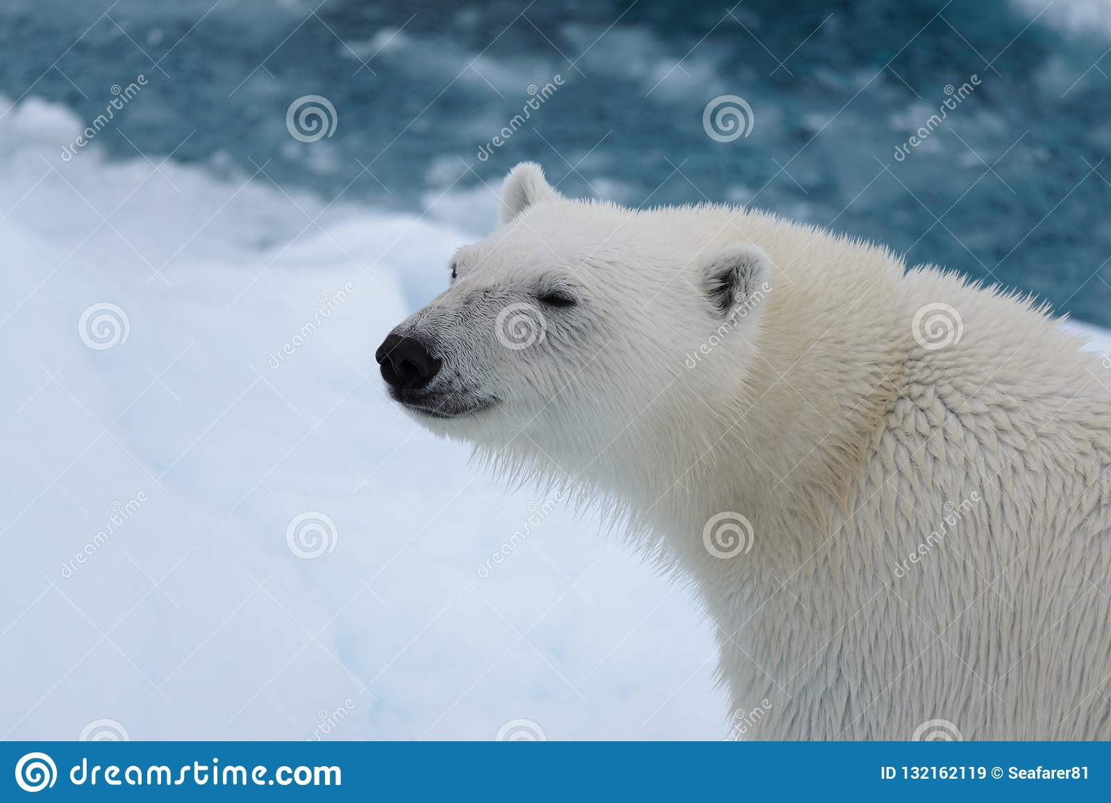 Polar bear`s Ursus maritimus head close up