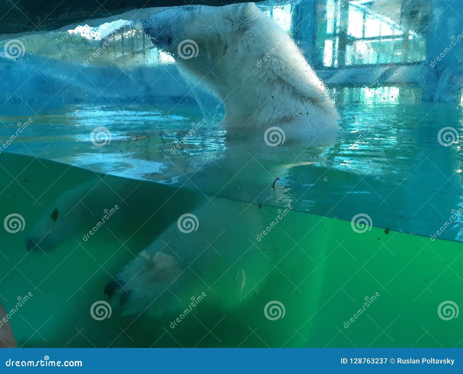Polar bear in Safari park
