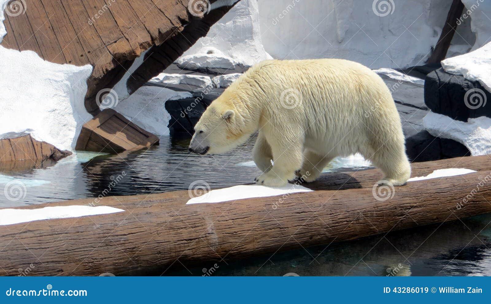 Polar Bear at Seaworld