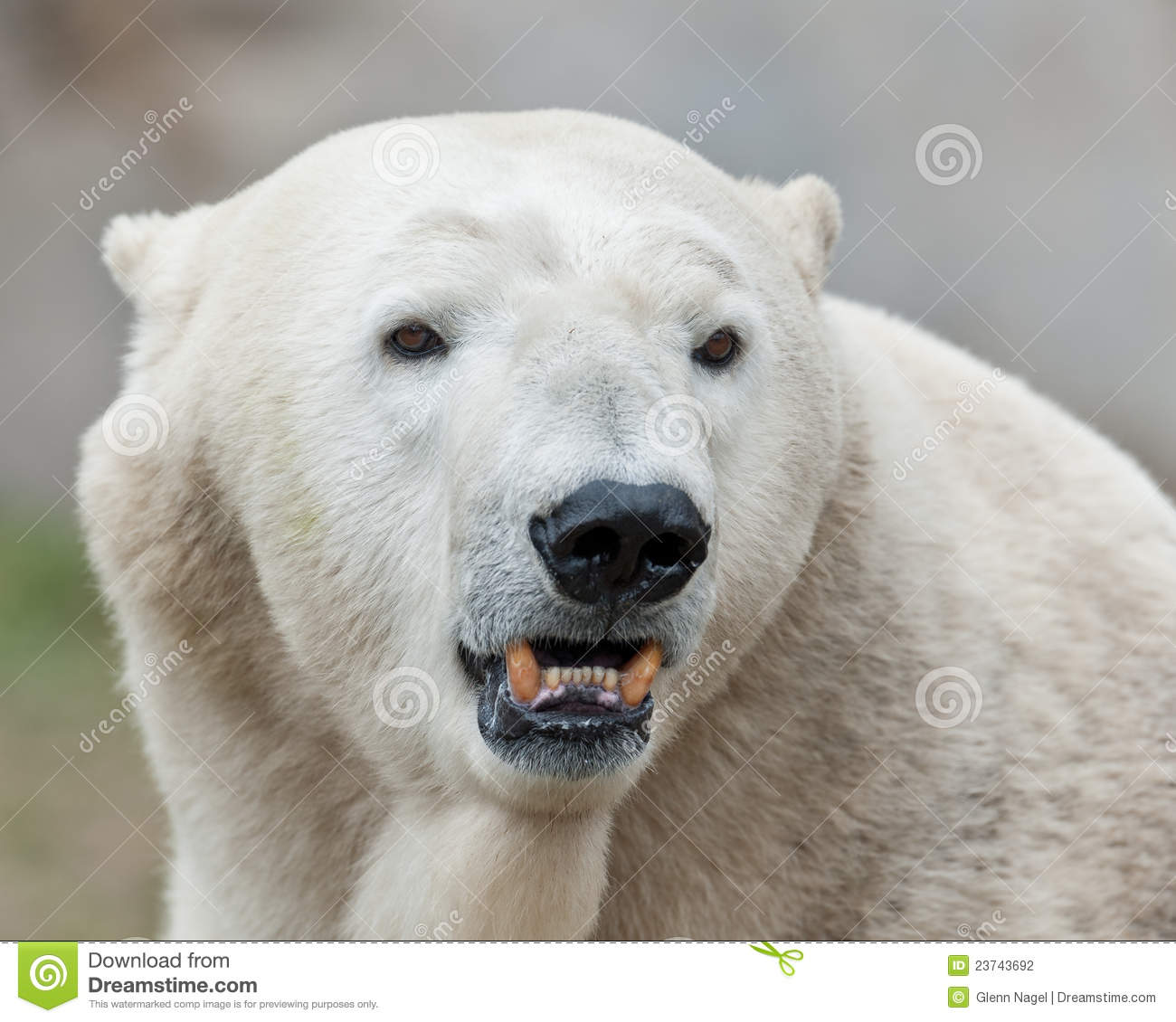 Polar Bear Shows Teeth Stock Photography - Image: 23743692