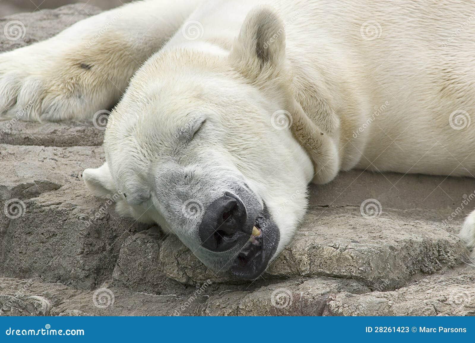Baby polar bear sleeping - photo#24