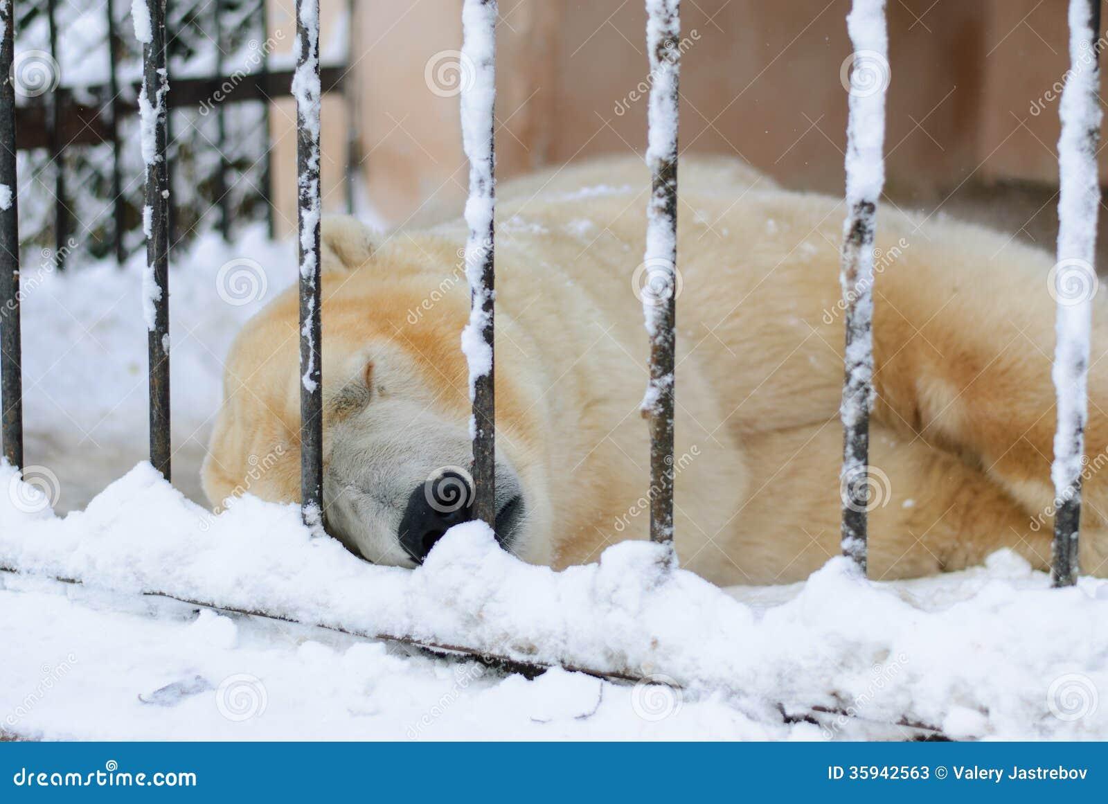 polar bear sleeping in a cage stock photos image 35942563. Black Bedroom Furniture Sets. Home Design Ideas