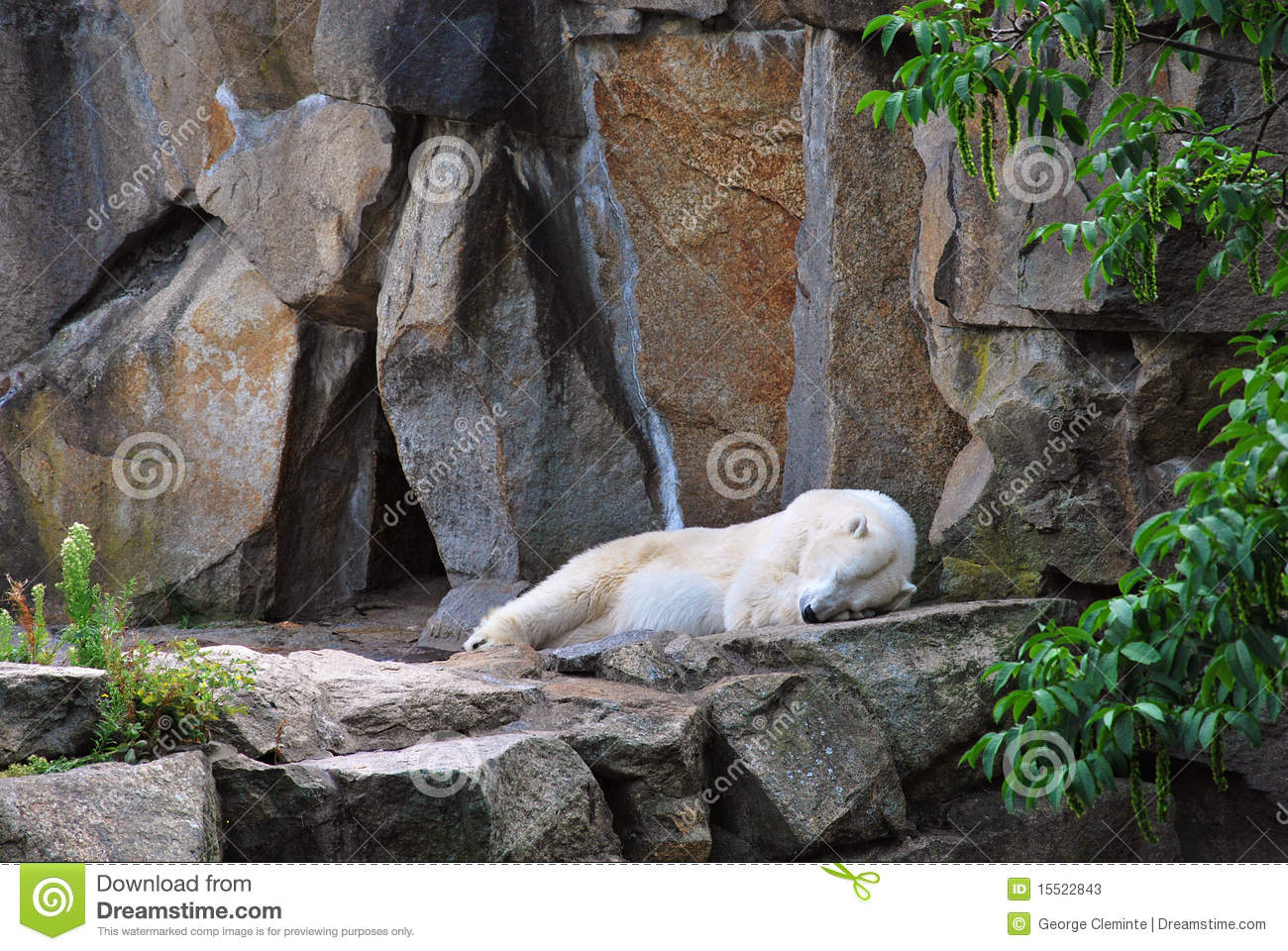Polar Bear Sleeping Outside His Cave Stock Image - Image ...