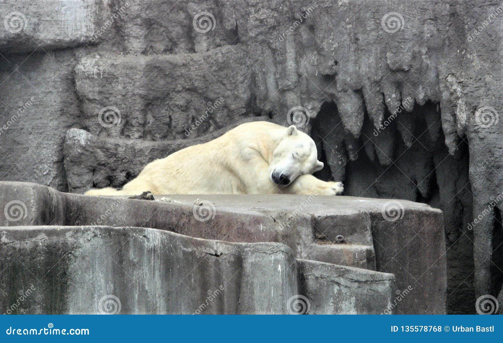 Polar bear sleeps in the zoo