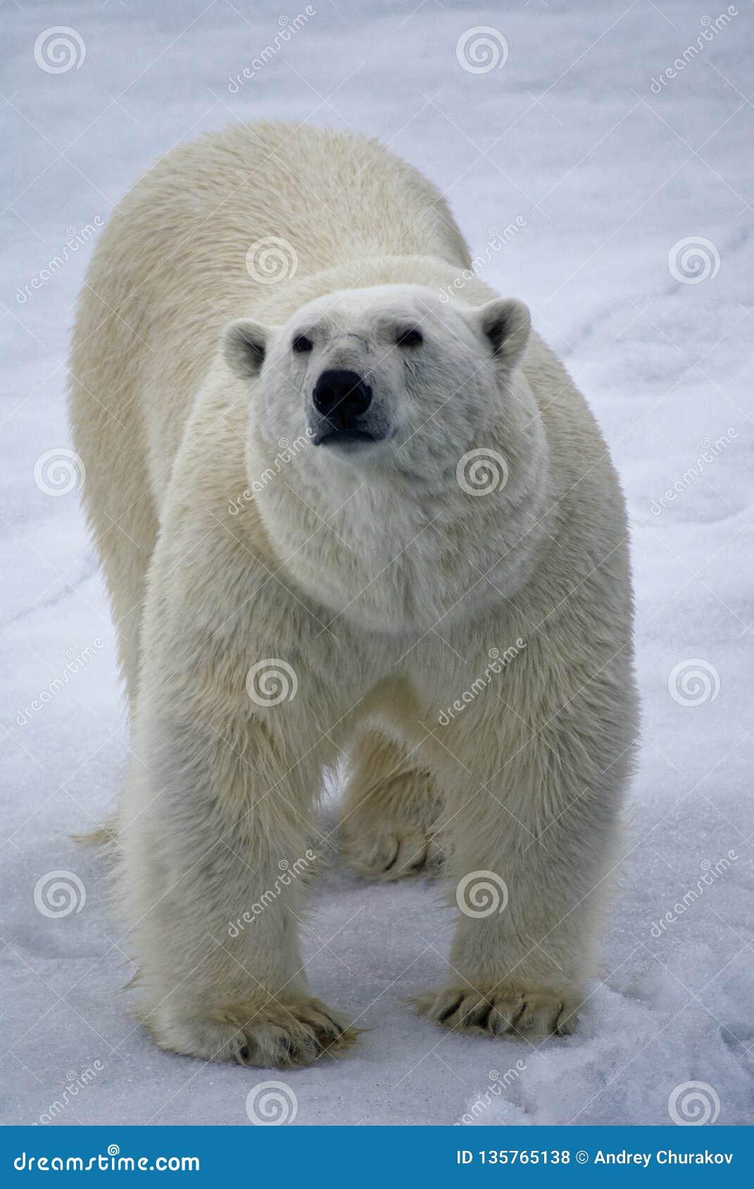Polar bear in the strait of Negri