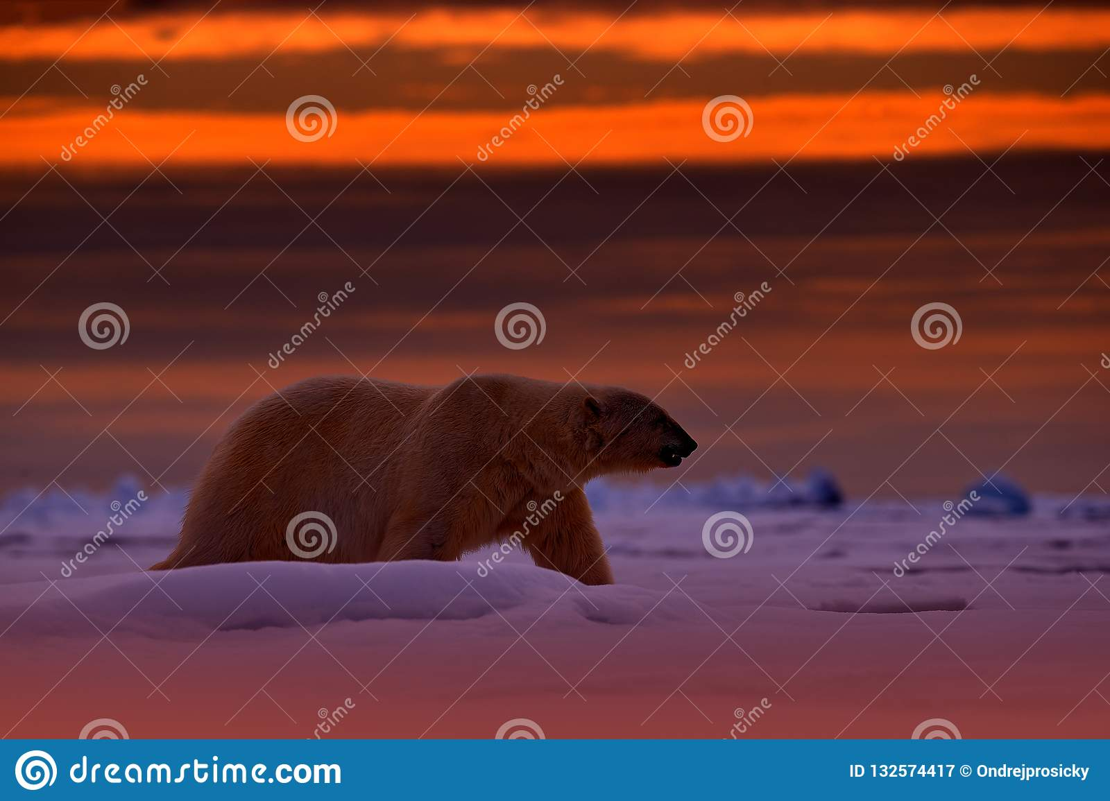 Polar bear sunset in the Arctic. Bear on the drifting ice with snow, with evening orange sun, Svalbard, Norway. Beautiful red sky