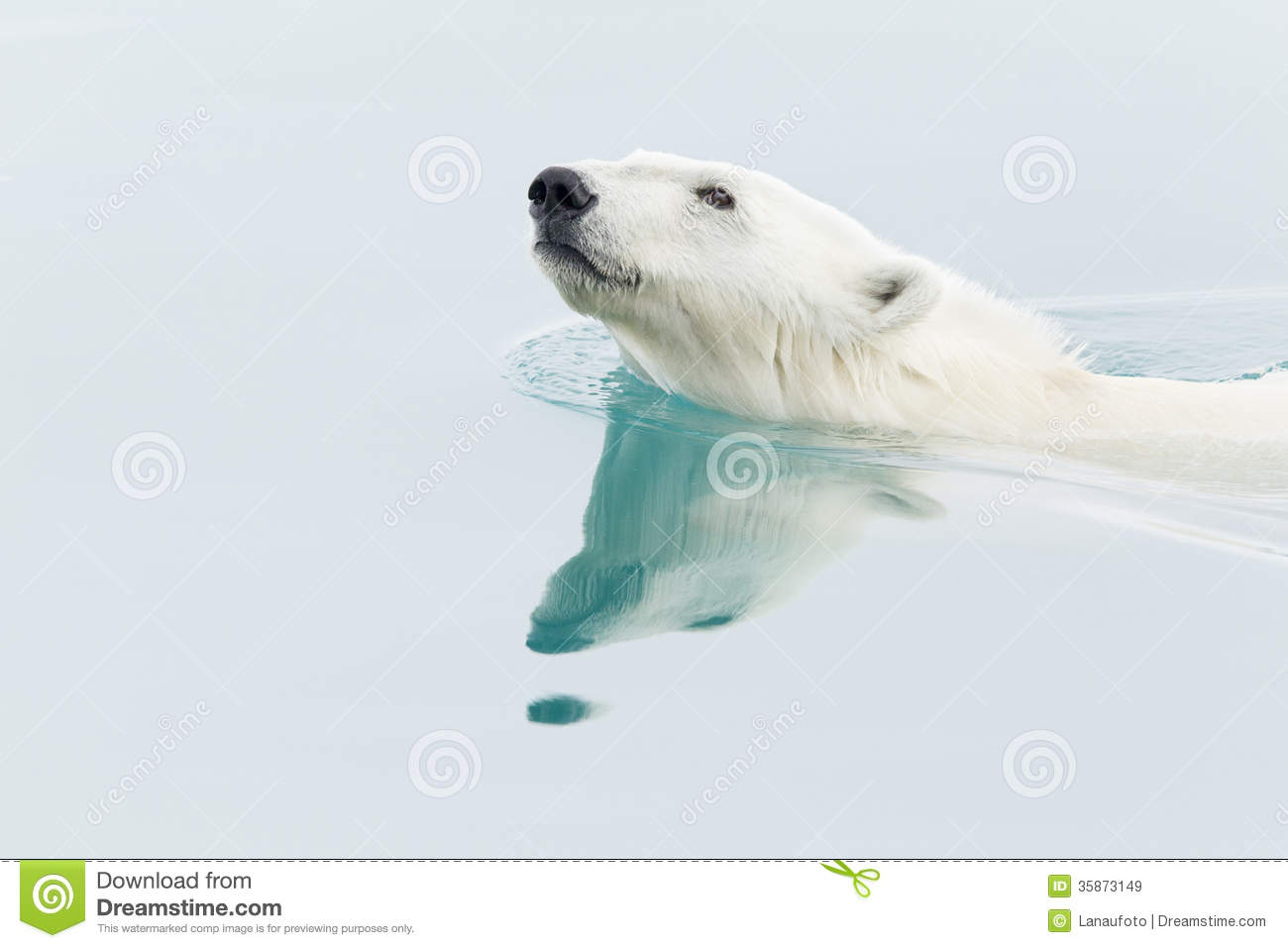 Polar Bear Swimming Clip Art Polar bear swimming royalty