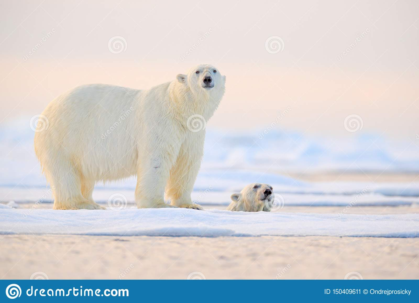 Polar bear swimming in water. Two bears playing on drifting ice with snow. White animals in the nature habitat, Alaska, Canada.