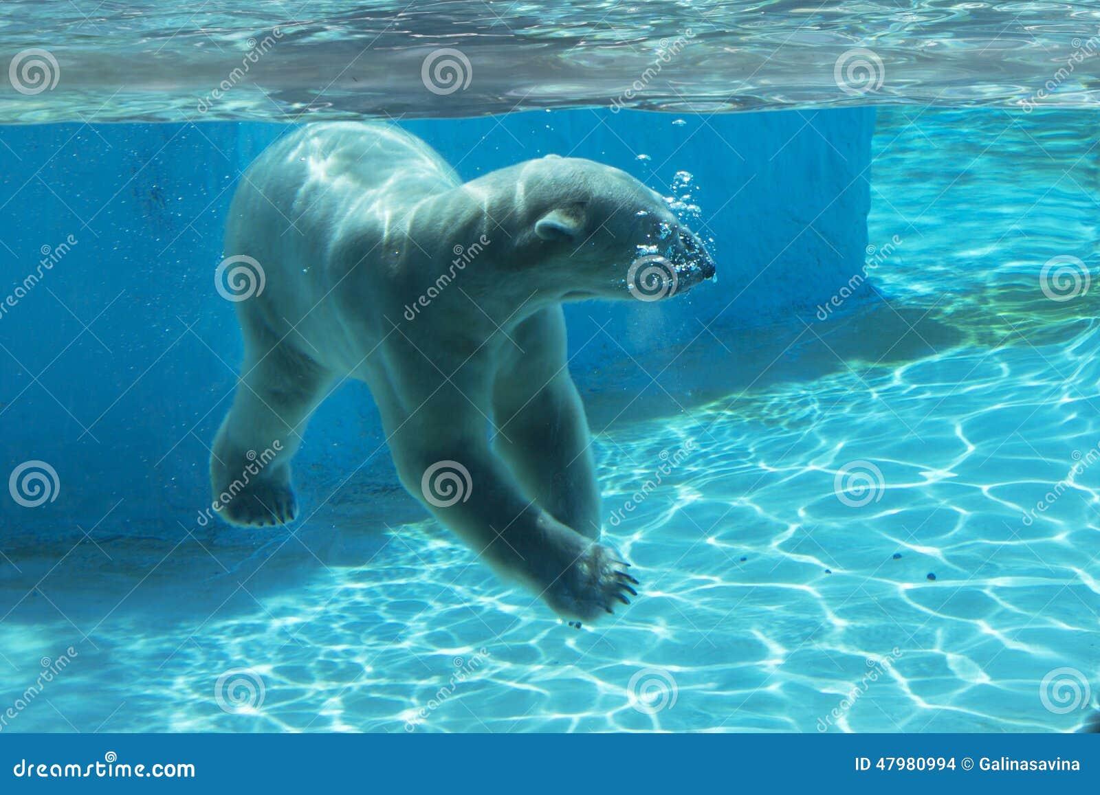 polar bear swimming underwater wwwimgkidcom the