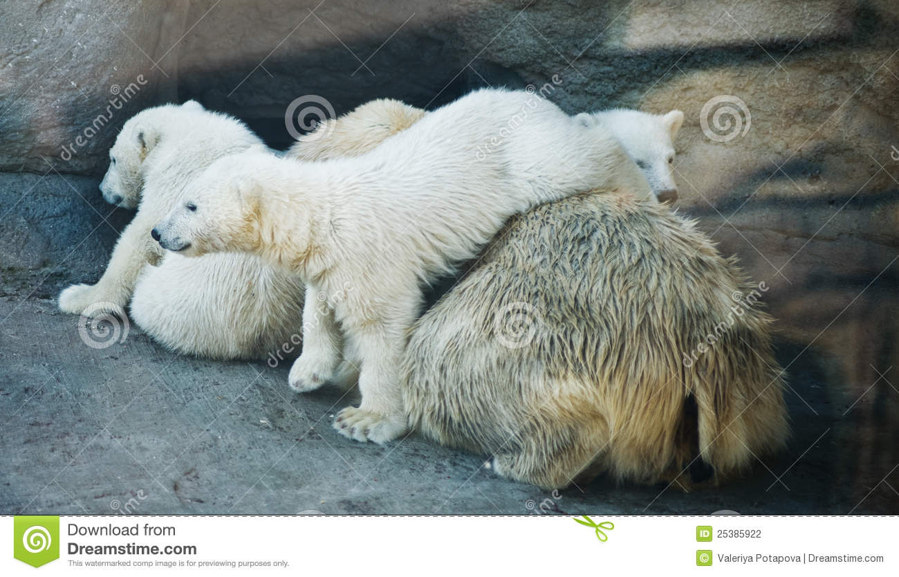 polar bear with two kids stock photography image 25385922