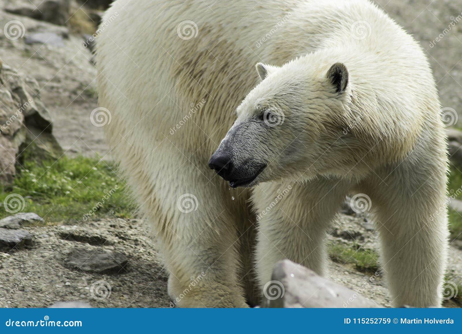 Polar Bear portret white close up.