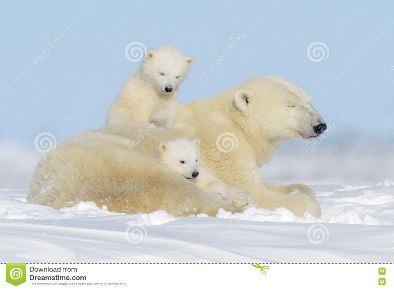 Polar bear (Ursus maritimus) with cubs