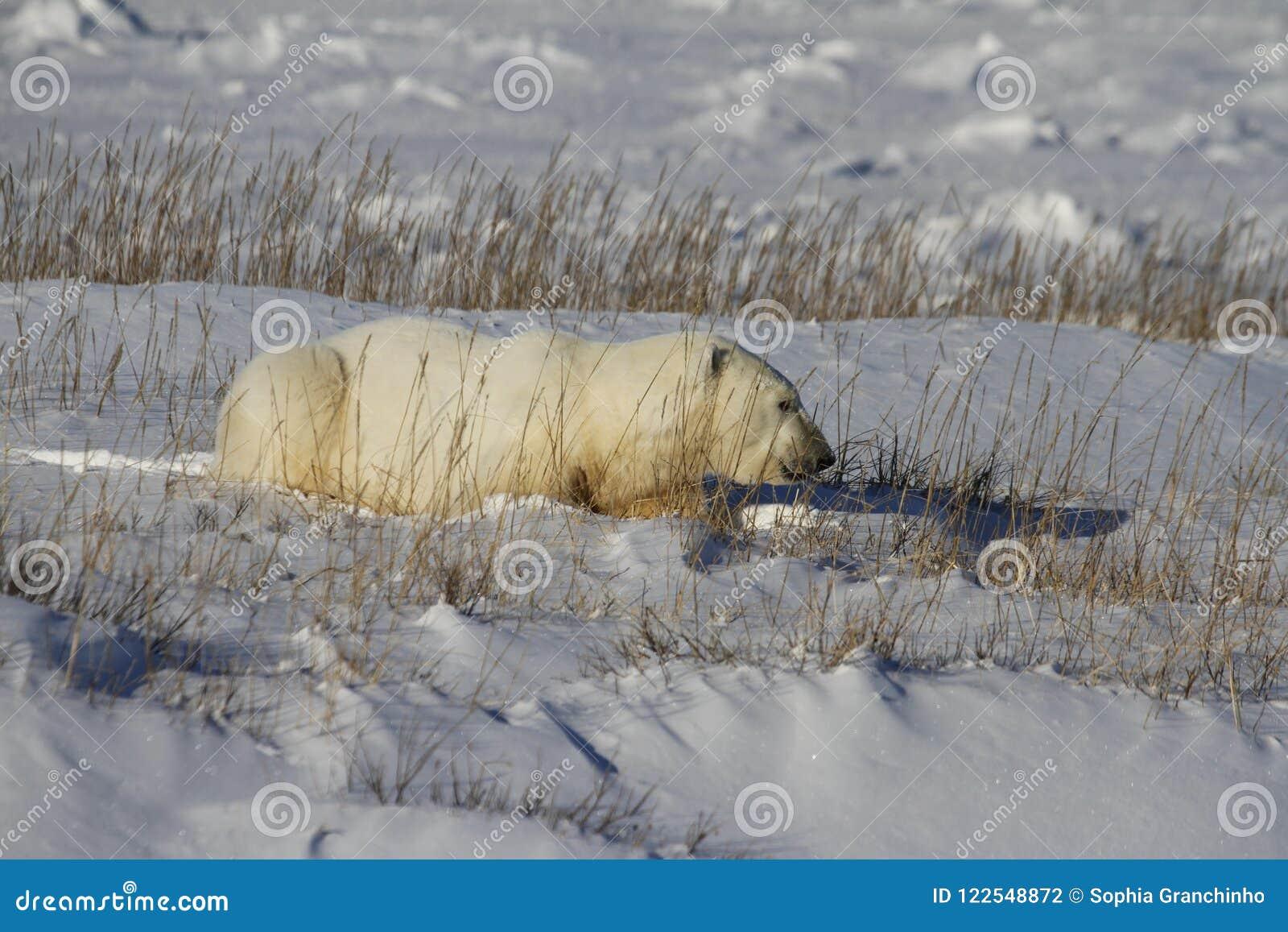 Polar Bear, Ursus Maritimus, lying down between grass and snow, near the shores of Hudson Bay