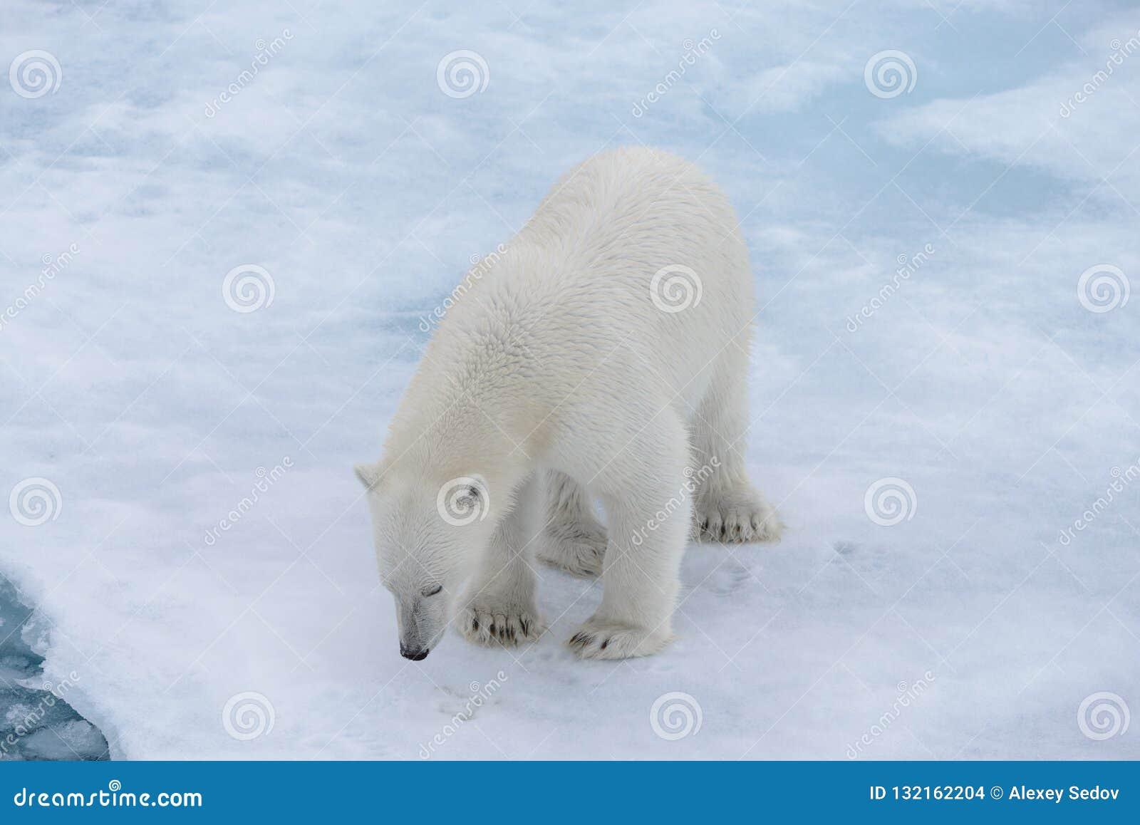 Polar bear Ursus maritimus on the pack ice