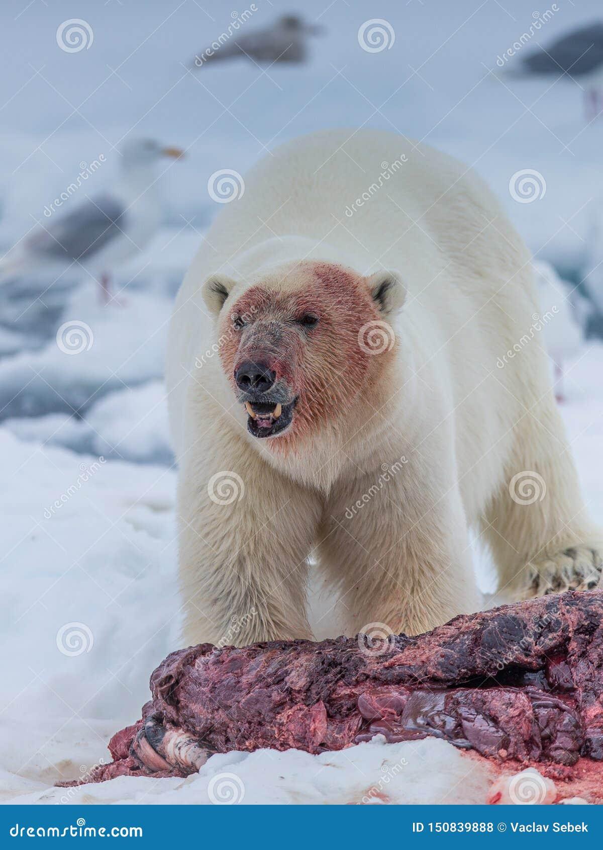 Polar Bear Ursus maritimus Spitsbergen North Ocean