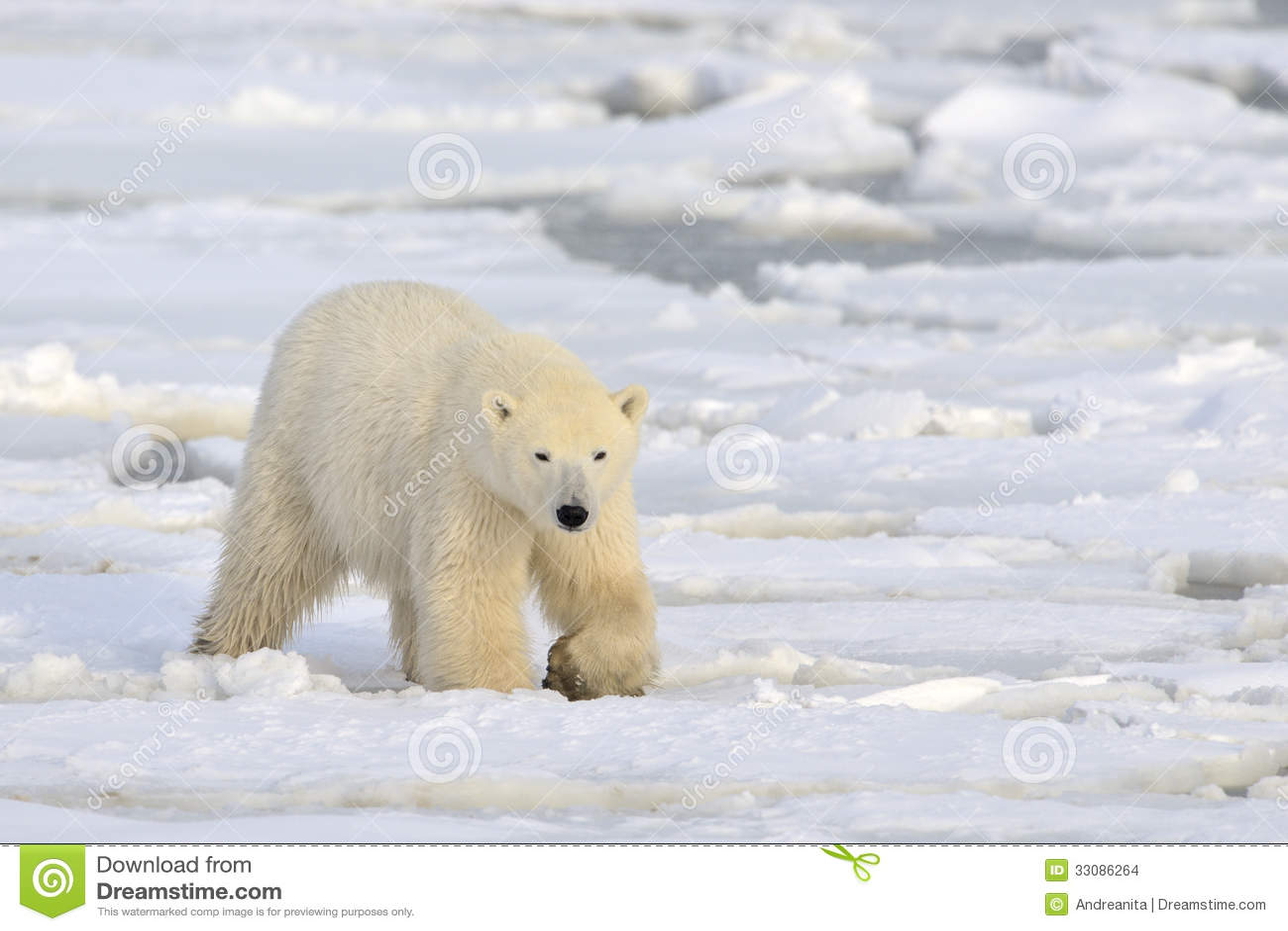Polar Bear stock photo. Image of nature, front, education ...