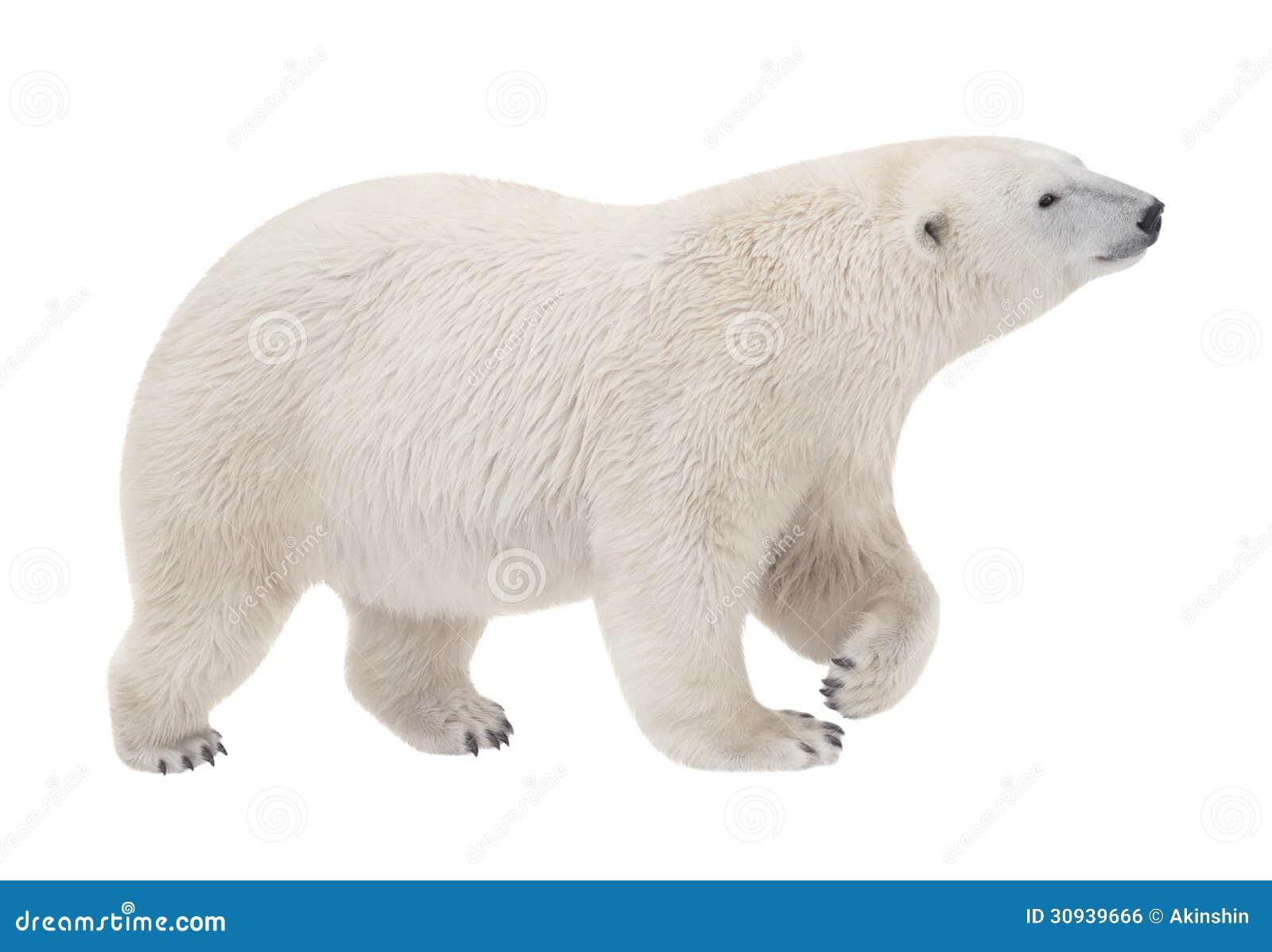 polar bear stock photo image of cute  bear  clubfooted bear paw print clip art images bear paw print clip art 5 toes