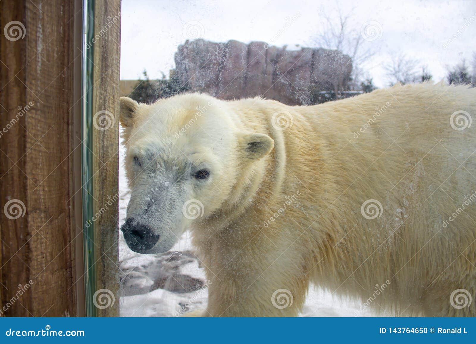 Polar bear walking in a zoo in winter