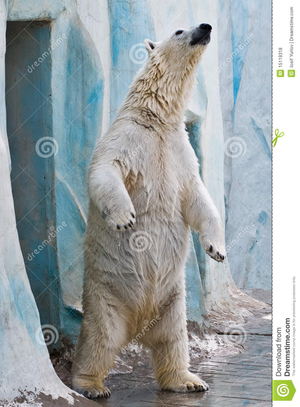 A Polar Bear In The Zoo Stock Photo Image Of Fisher