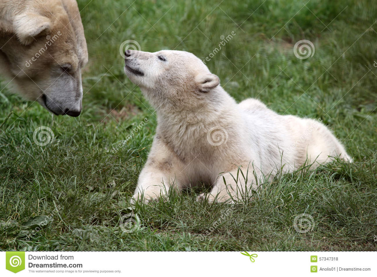 Polar bear youngster meets up with his mother